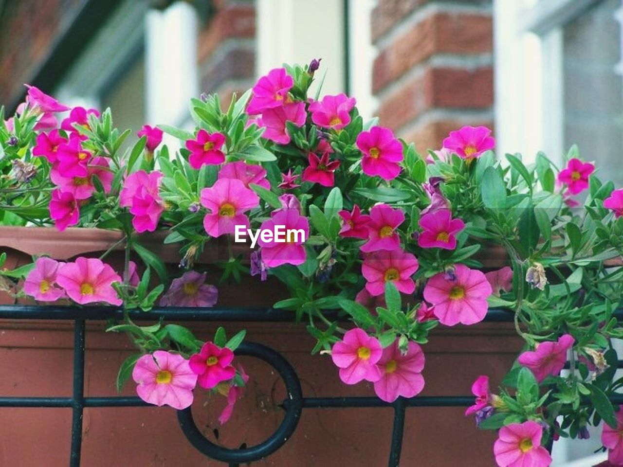 flower, pink color, plant, fragility, growth, petal, freshness, blooming, leaf, beauty in nature, nature, potted plant, no people, flower head, day, outdoors, building exterior, architecture, close-up, petunia, window box, periwinkle