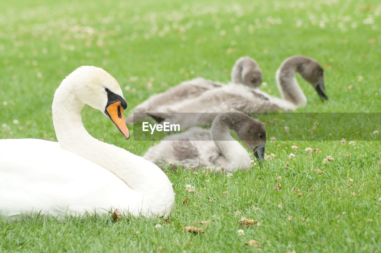 Swan And Cygnets ON GRASSY FIELD