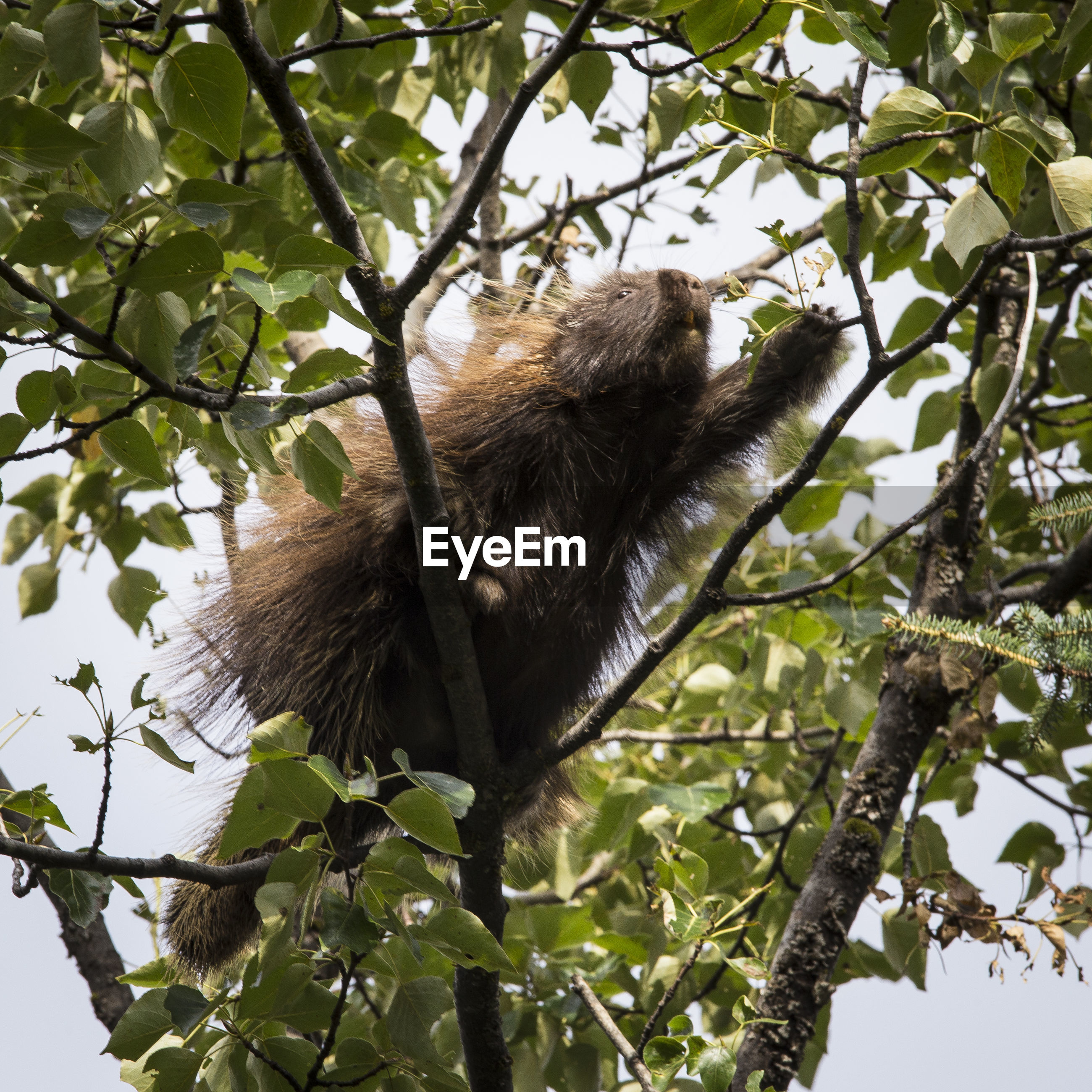 Low angle view of porcupine on tree
