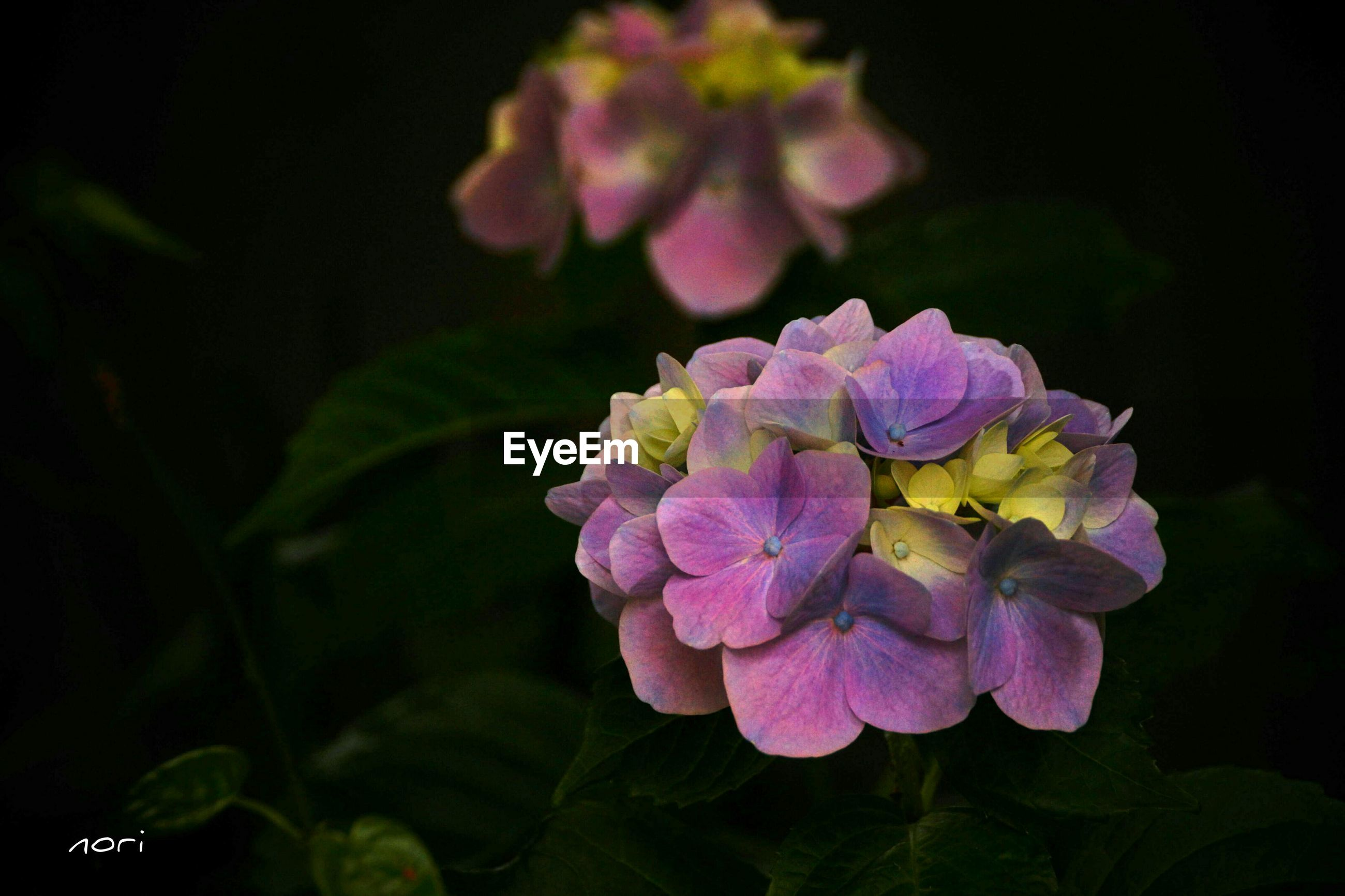 flower, petal, freshness, fragility, flower head, beauty in nature, growth, close-up, blooming, nature, plant, night, focus on foreground, in bloom, purple, leaf, pink color, blossom, park - man made space, no people