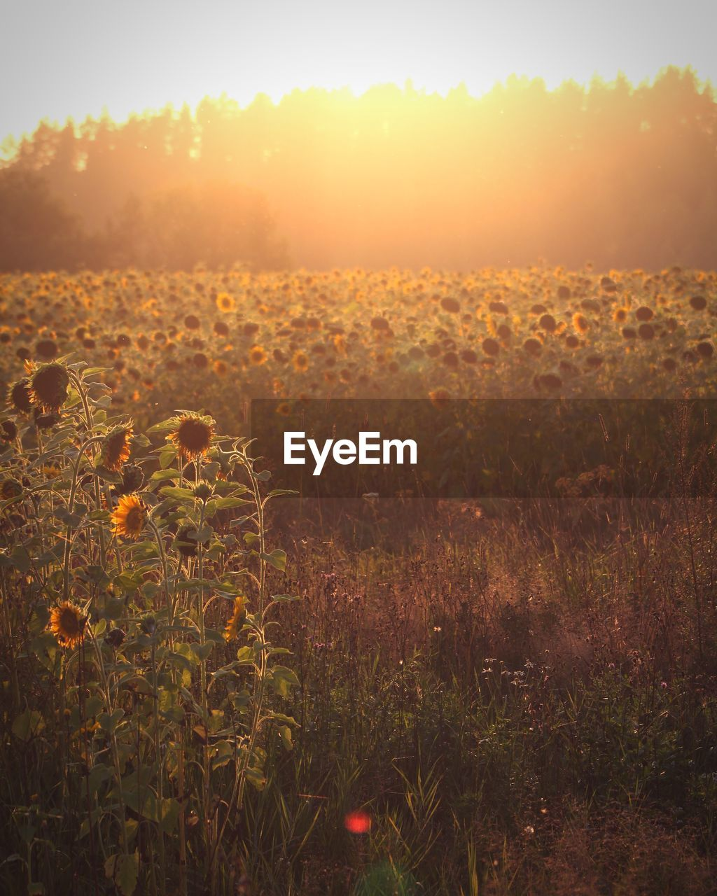 plant, growth, field, beauty in nature, land, tranquility, sunset, sky, nature, tranquil scene, landscape, environment, sun, sunlight, scenics - nature, no people, flower, grass, orange color, flowering plant, outdoors, lens flare