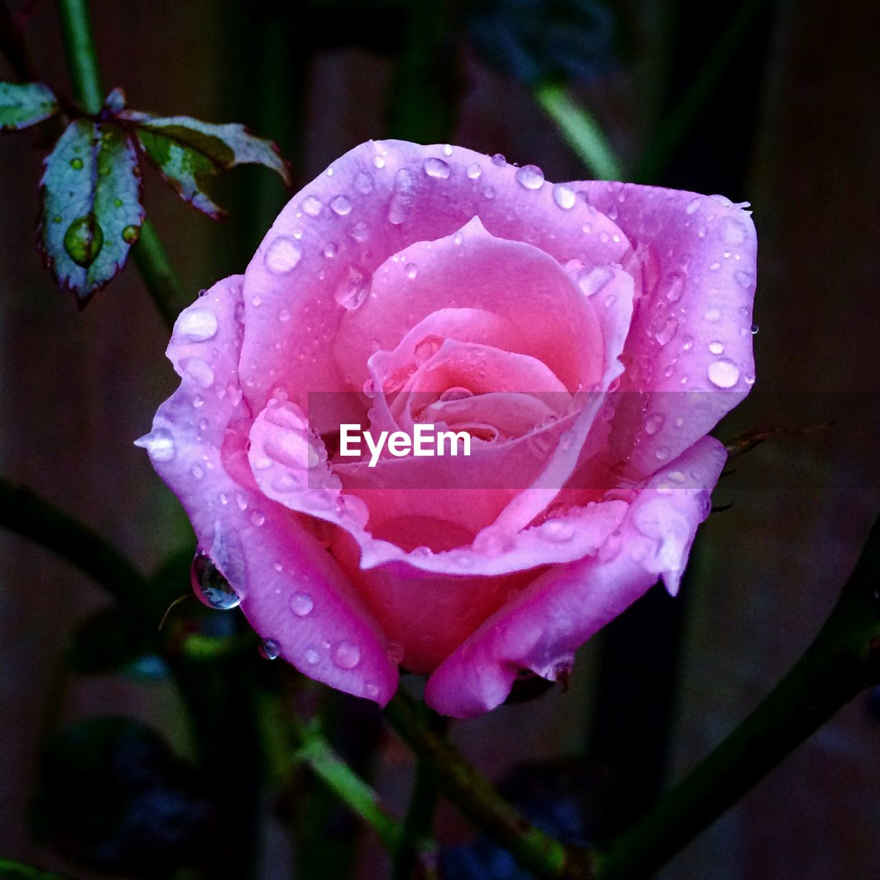 flower, drop, petal, water, growth, nature, wet, flower head, rose - flower, fragility, beauty in nature, plant, freshness, raindrop, close-up, no people, focus on foreground, outdoors, day, blooming