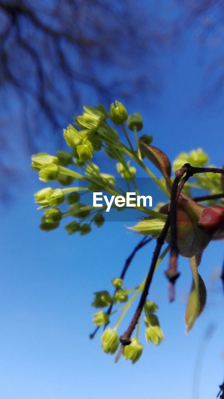 growth, fragility, nature, beauty in nature, low angle view, flower, tree, no people, freshness, branch, springtime, close-up, day, outdoors, blue, plant, sky, flower head