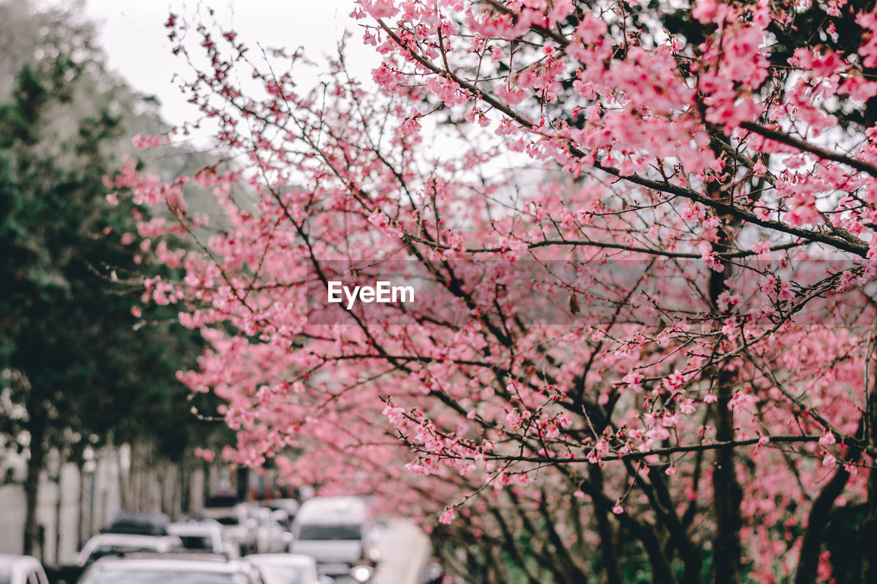Pink Cherry Blossoms Tree