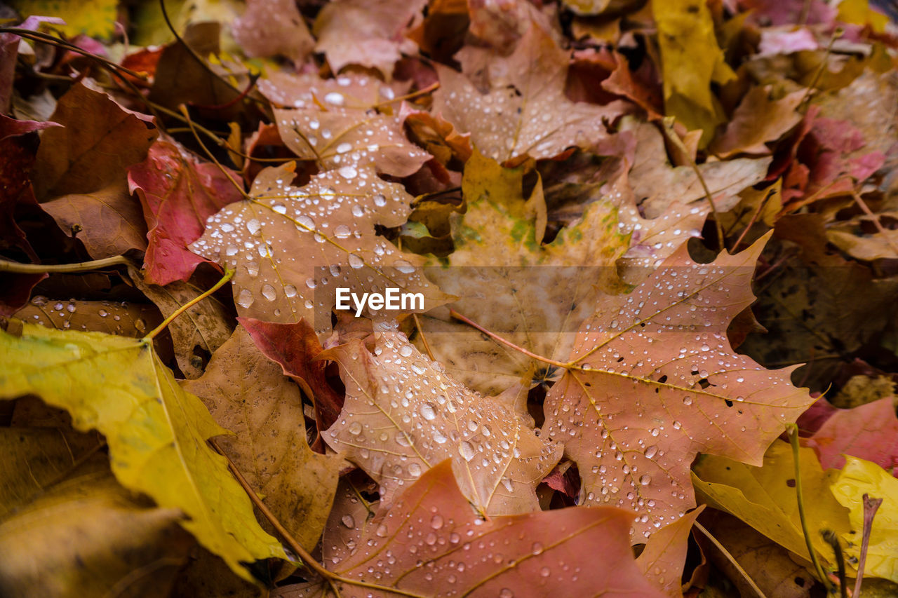 nature, leaf, fragility, wet, drop, change, beauty in nature, autumn, no people, water, outdoors, close-up, day, growth, maple