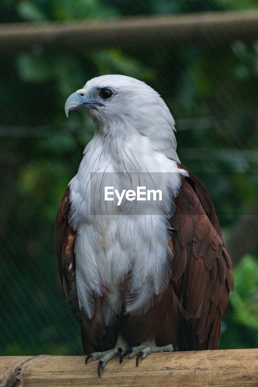 bird, animal themes, vertebrate, animal, animals in the wild, animal wildlife, focus on foreground, one animal, bird of prey, perching, day, wood - material, close-up, no people, nature, white color, looking, outdoors, beak, eagle