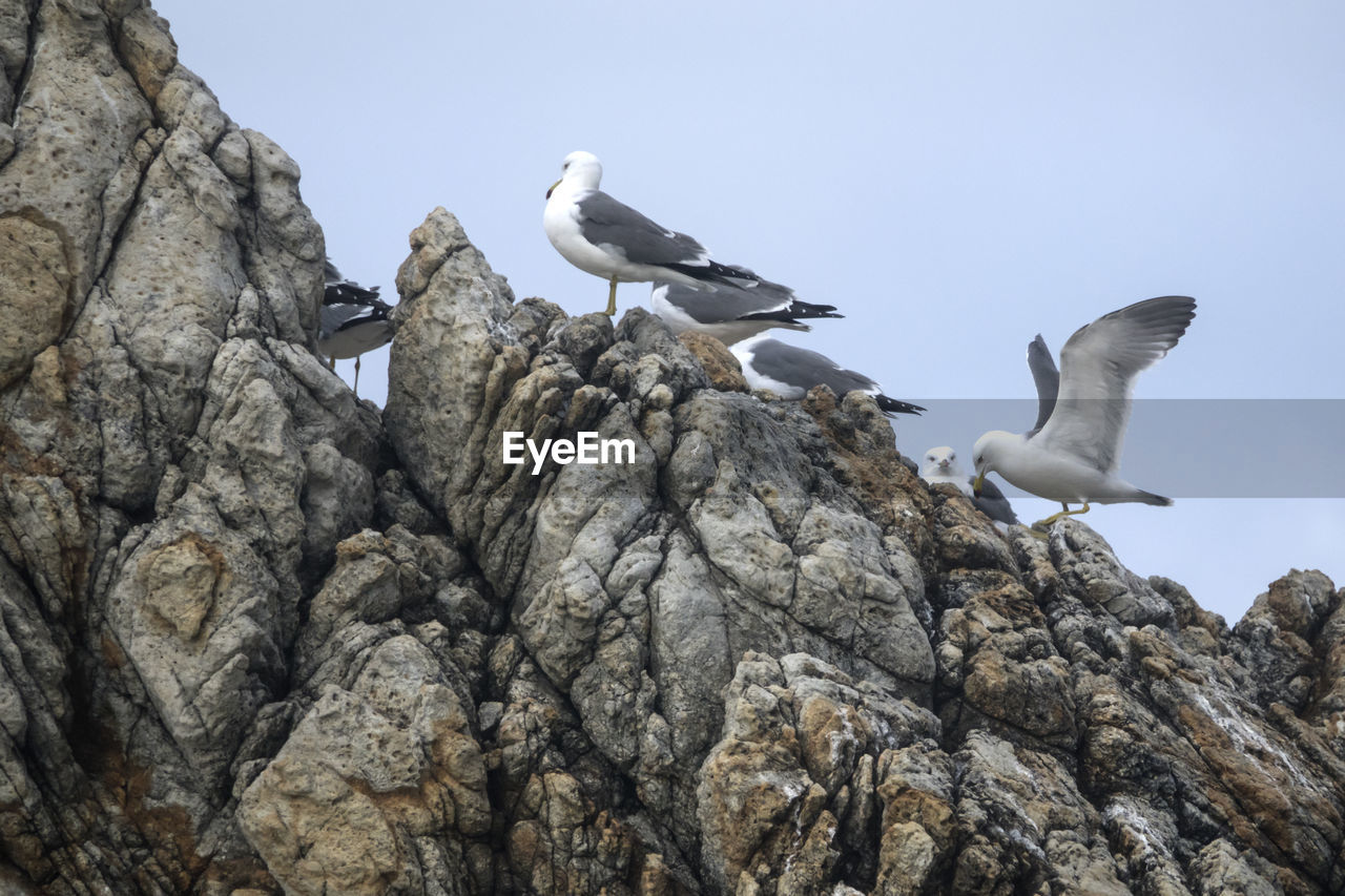 animals in the wild, animal wildlife, animal themes, vertebrate, animal, bird, group of animals, rock, solid, sky, rock - object, nature, low angle view, perching, day, clear sky, no people, seagull, rock formation, outdoors