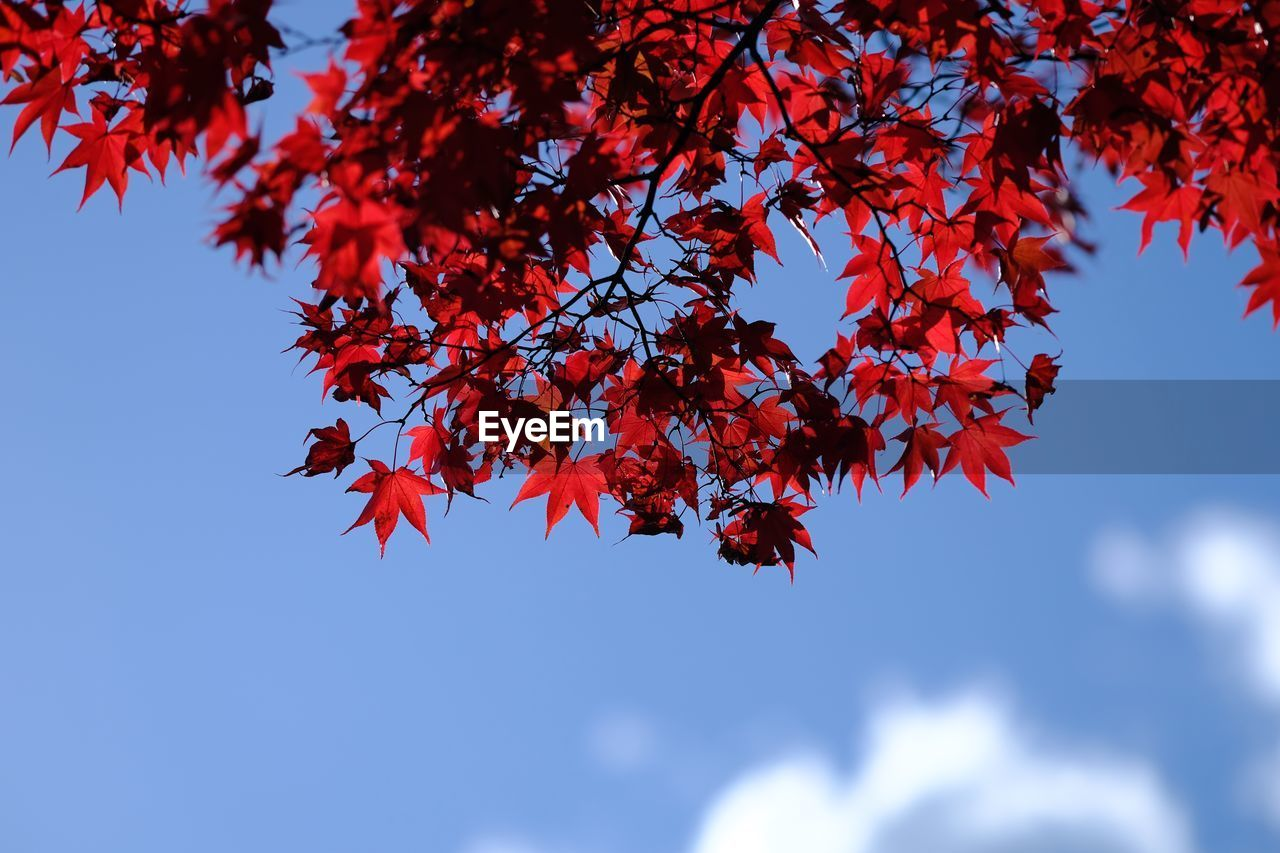 autumn, leaf, low angle view, tree, nature, beauty in nature, change, growth, day, branch, outdoors, maple leaf, maple tree, no people, sky, blue, maple
