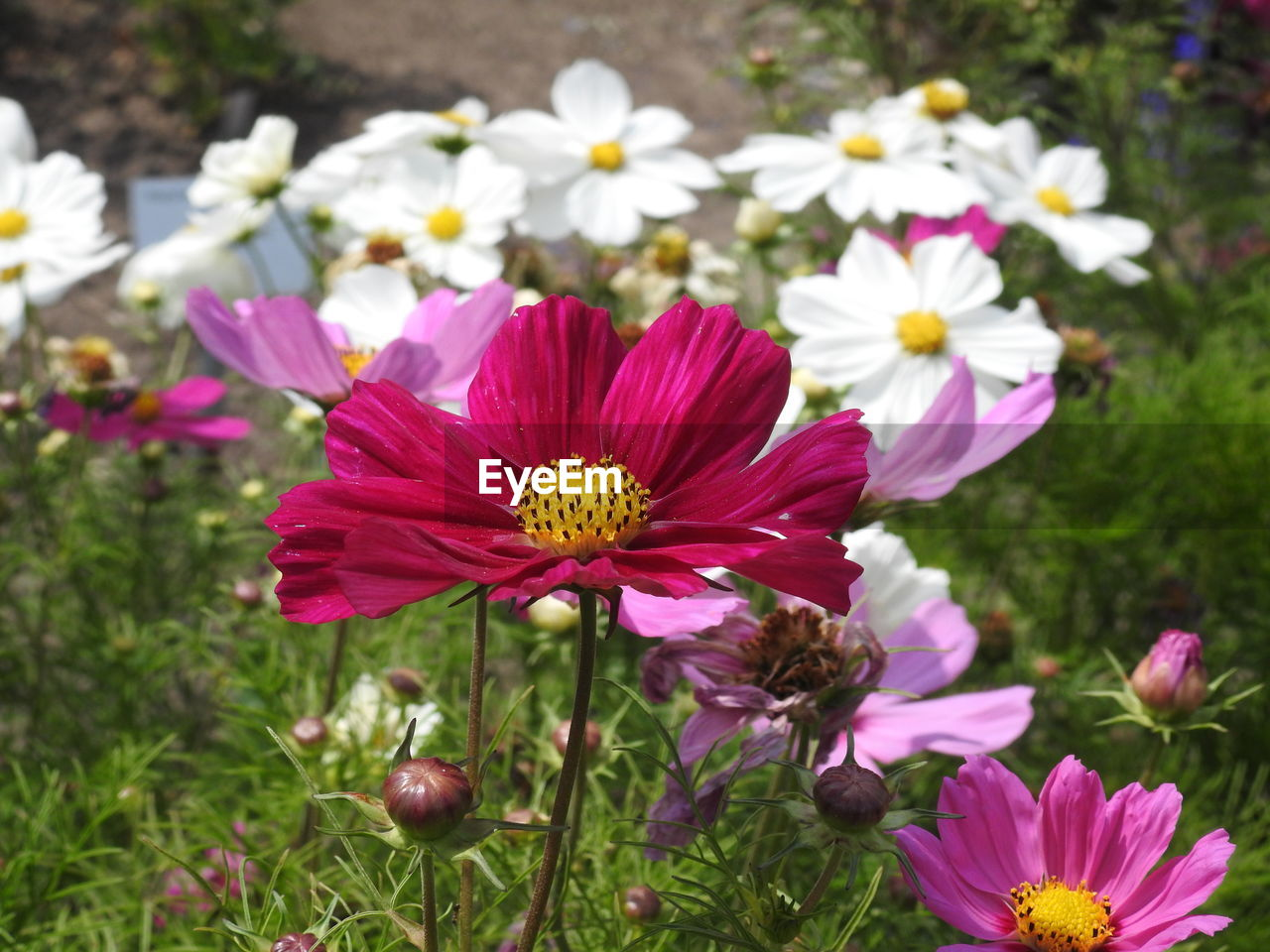 flowering plant, flower, freshness, fragility, vulnerability, petal, plant, beauty in nature, flower head, inflorescence, growth, close-up, pollen, focus on foreground, nature, day, pink color, no people, cosmos flower, park, outdoors, gazania