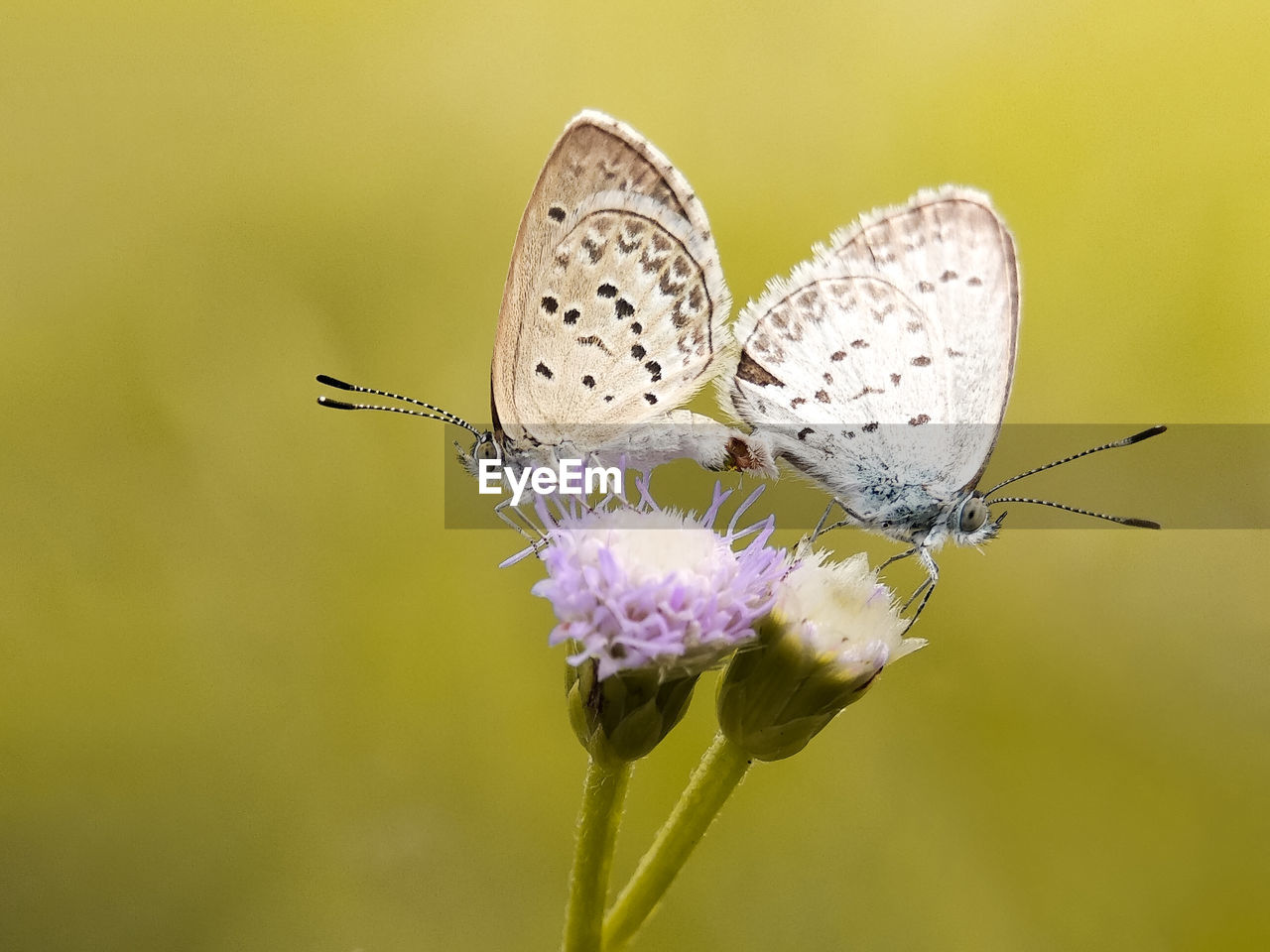 flower, flowering plant, insect, animal themes, animal, invertebrate, plant, beauty in nature, fragility, animal wing, animal wildlife, vulnerability, animals in the wild, close-up, butterfly - insect, one animal, freshness, petal, nature, flower head, no people, pollination, butterfly, purple