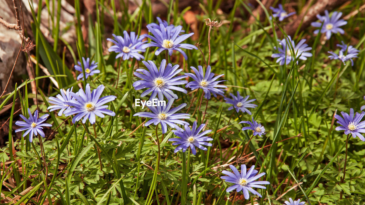 flowering plant, flower, plant, freshness, fragility, beauty in nature, vulnerability, petal, growth, flower head, close-up, inflorescence, nature, purple, no people, day, high angle view, green color, botany, field, outdoors, pollen