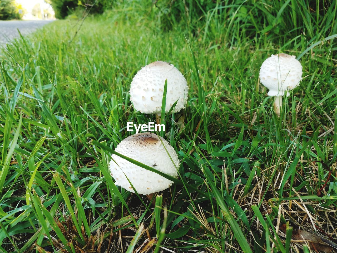 Close-up of white mushrooms growing on grassy field