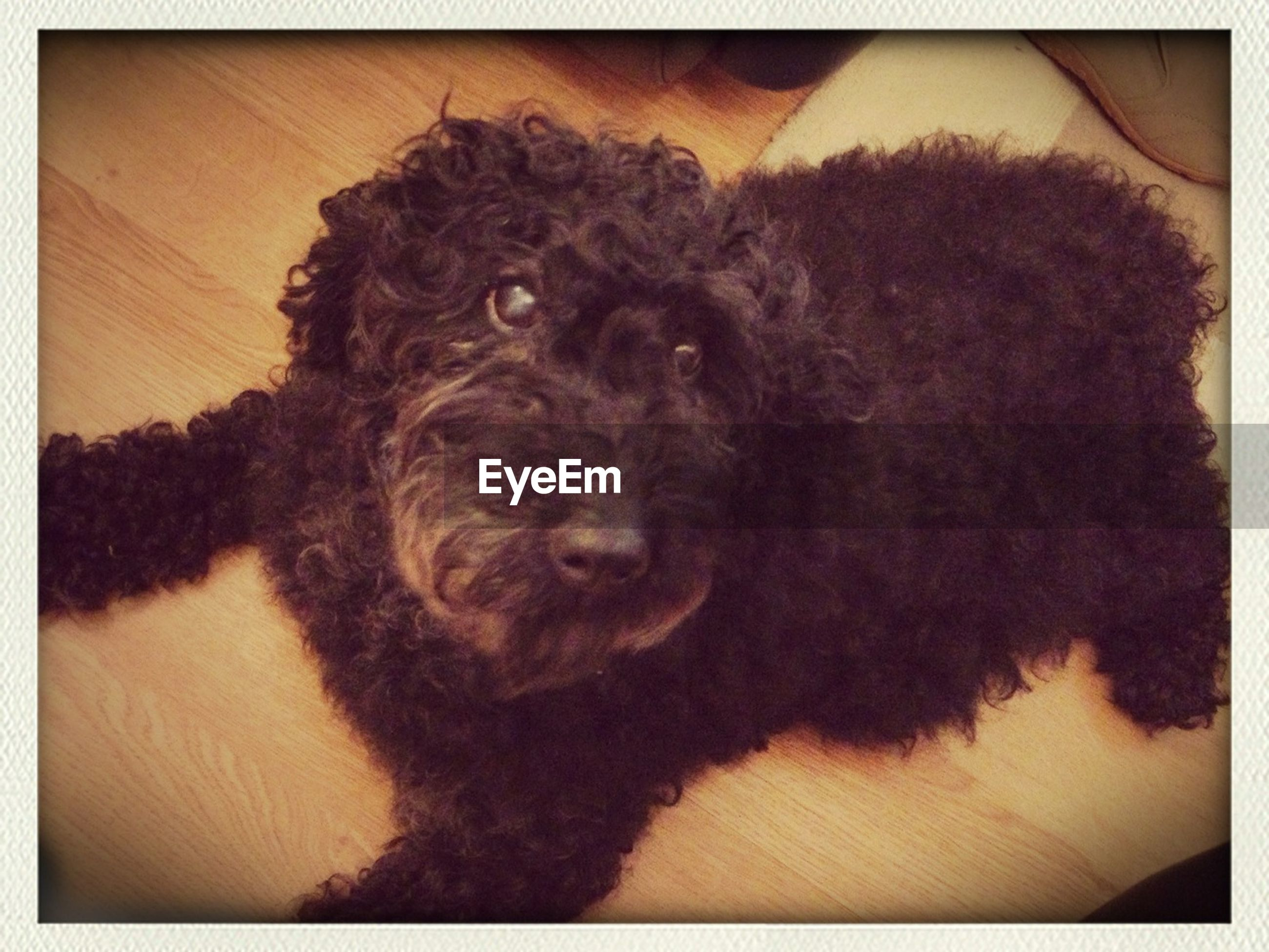 animal themes, transfer print, one animal, domestic animals, pets, indoors, auto post production filter, mammal, dog, relaxation, home interior, animal head, high angle view, close-up, animal hair, resting, zoology, sitting, lying down, black color