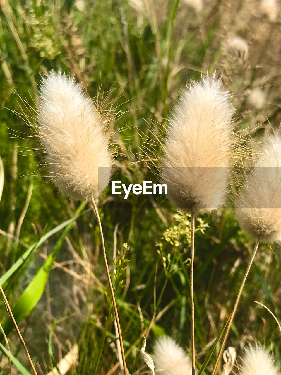 plant, growth, nature, no people, close-up, flower, dandelion, focus on foreground, fragility, beauty in nature, vulnerability, day, freshness, flowering plant, land, field, softness, grass, white color, outdoors, flower head, dandelion seed