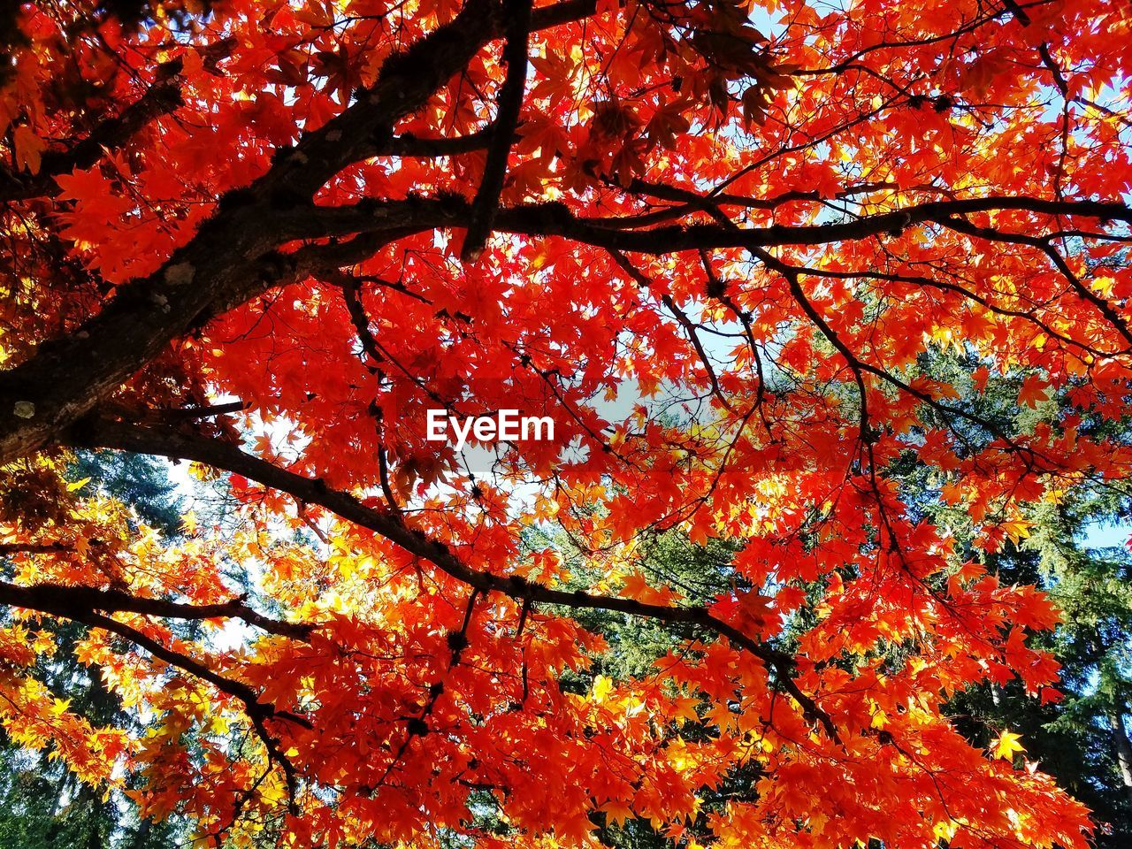 autumn, tree, plant, branch, change, low angle view, orange color, beauty in nature, nature, no people, growth, plant part, leaf, day, maple tree, outdoors, red, backgrounds, maple leaf, full frame, natural condition, tree canopy, leaves, fall, autumn collection