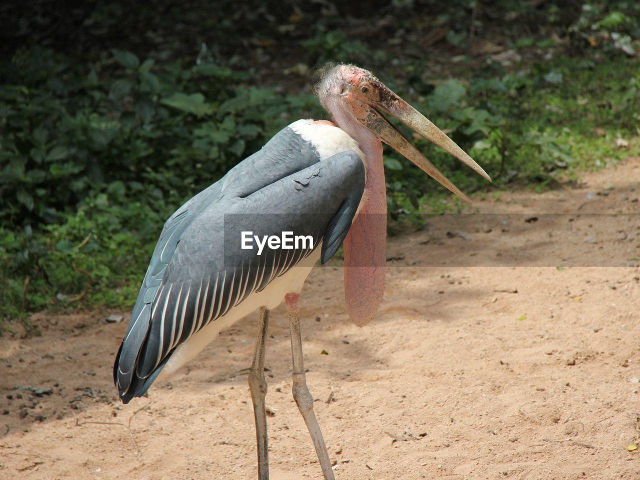 one animal, bird, animals in the wild, animal themes, animal wildlife, no people, day, stork, nature, outdoors, gray heron, close-up