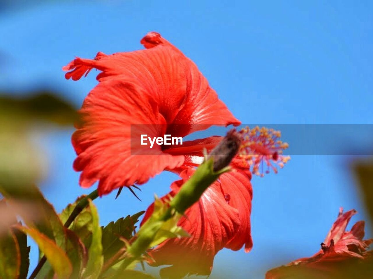 flower, nature, day, close-up, outdoors, low angle view, petal, freshness, no people, fragility, beauty in nature, red, sky, flower head, hibiscus
