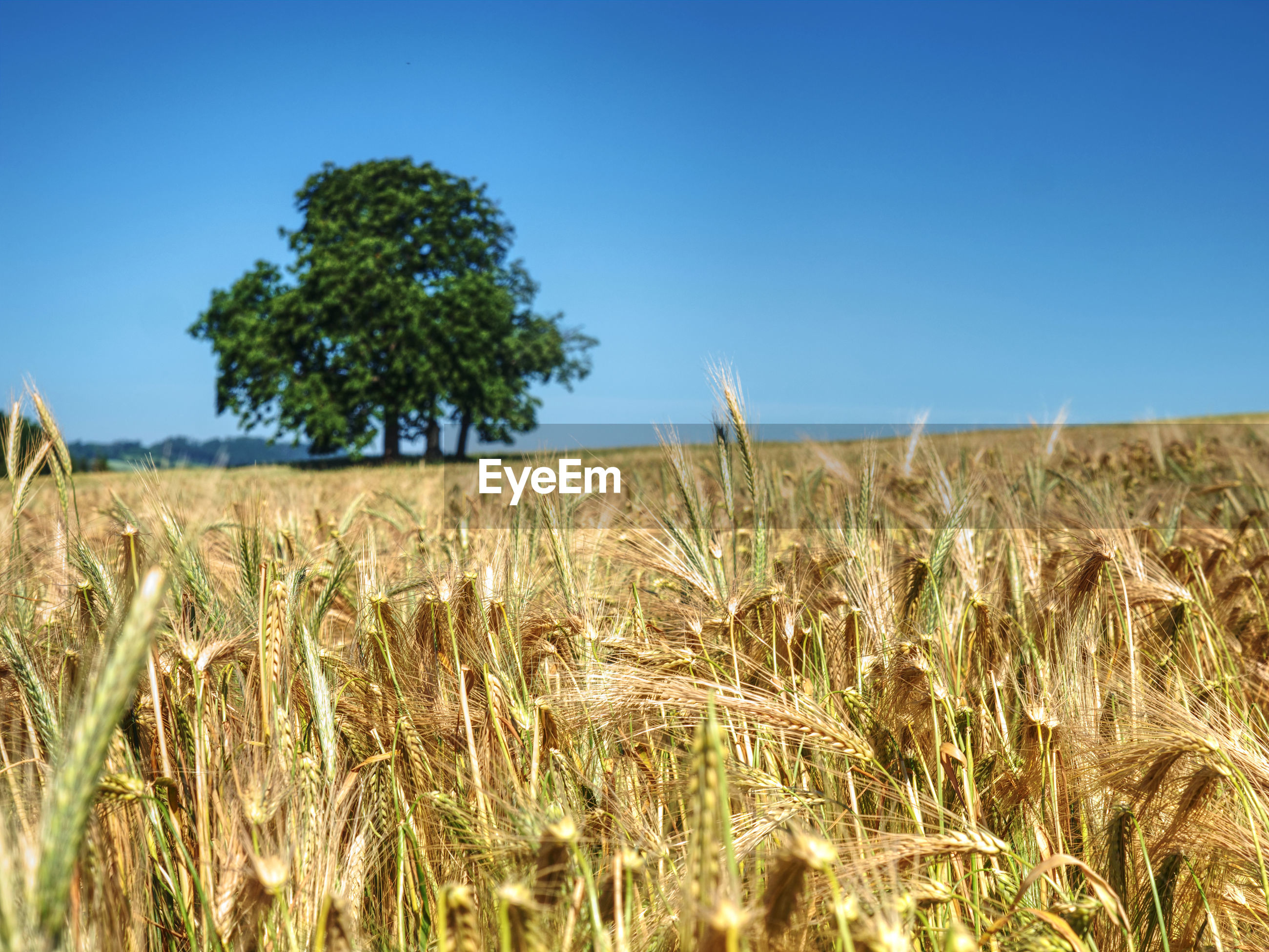 VIEW OF WHEAT FIELD AGAINST CLEAR SKY