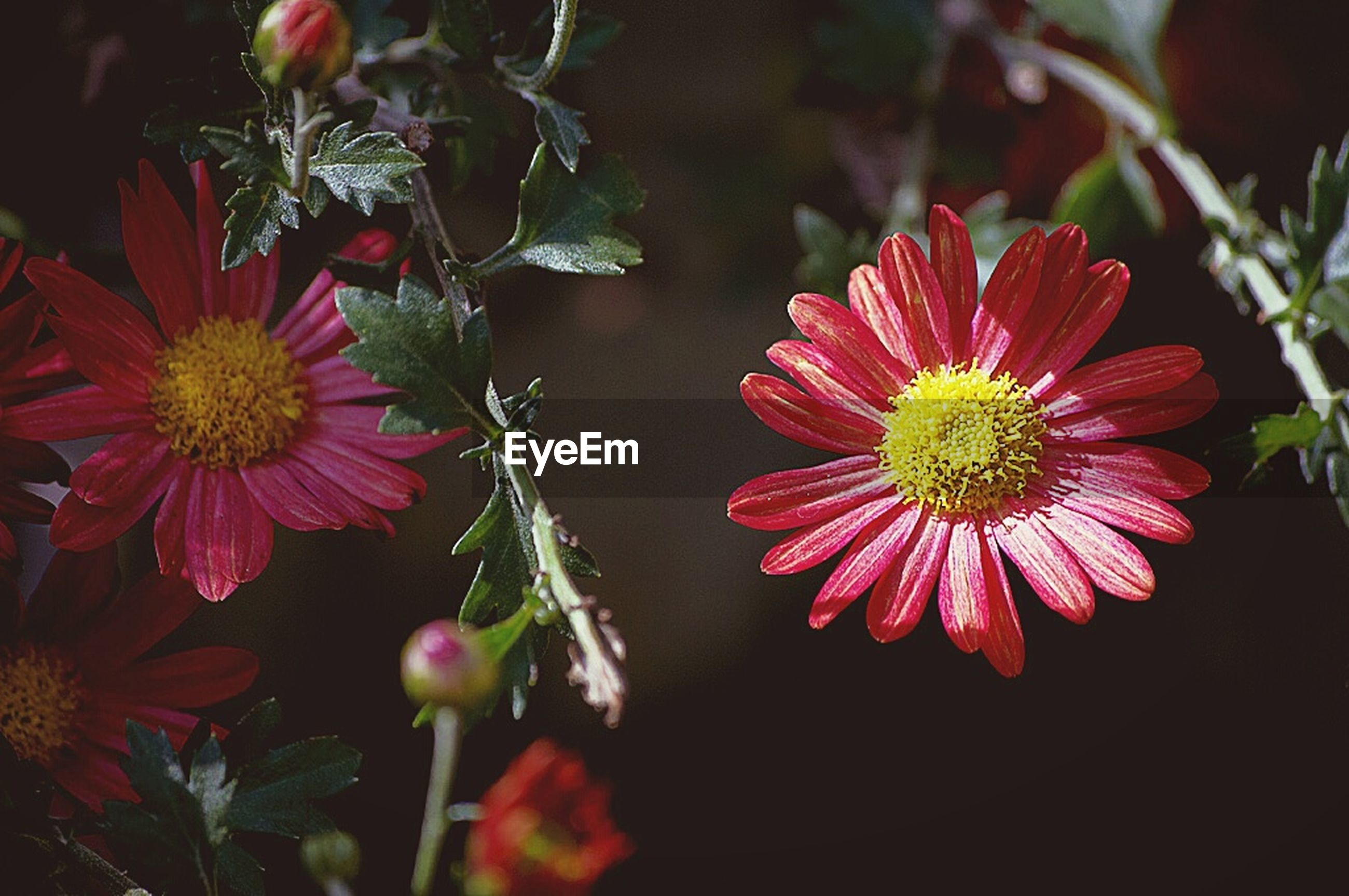 flower, freshness, petal, flower head, fragility, growth, red, beauty in nature, blooming, pollen, close-up, nature, plant, pink color, high angle view, focus on foreground, in bloom, stamen, no people, outdoors