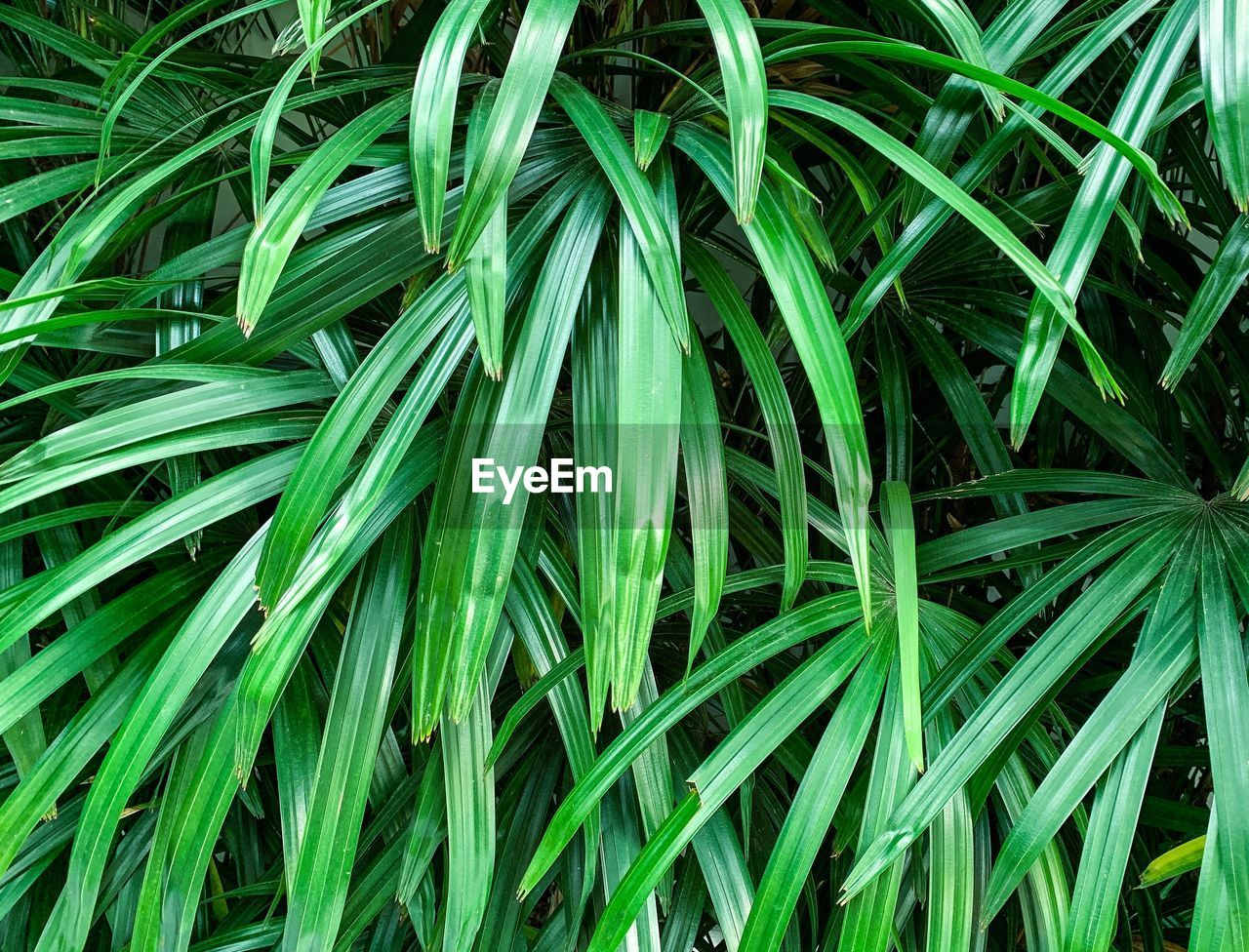 green color, full frame, backgrounds, plant, growth, beauty in nature, leaf, nature, no people, plant part, close-up, day, grass, field, land, high angle view, outdoors, freshness, lush foliage, agriculture, blade of grass, palm leaf