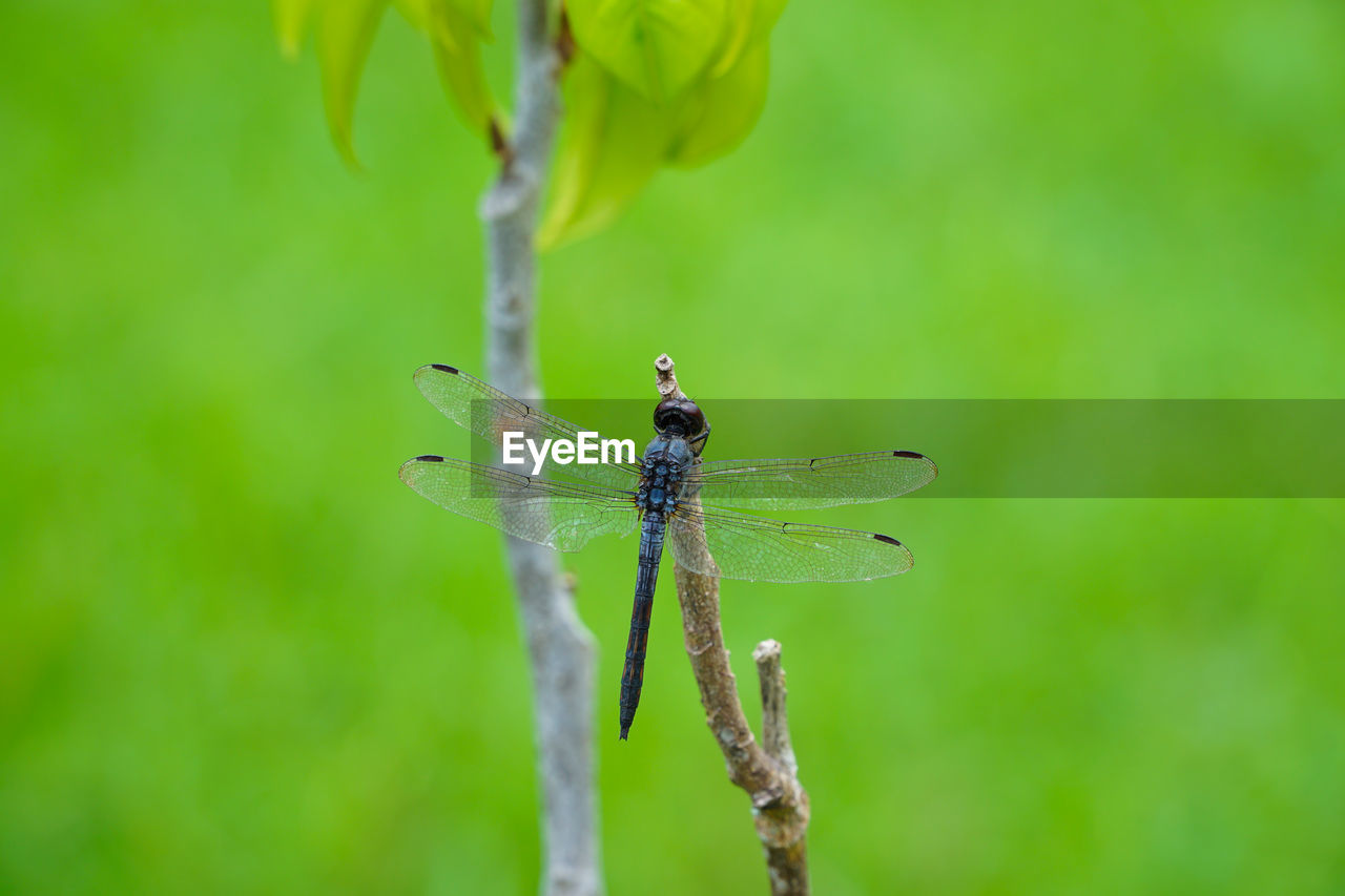 animals in the wild, invertebrate, animal wildlife, insect, animal themes, animal, plant, one animal, close-up, nature, focus on foreground, green color, day, beauty in nature, no people, plant stem, animal wing, dragonfly, growth, outdoors