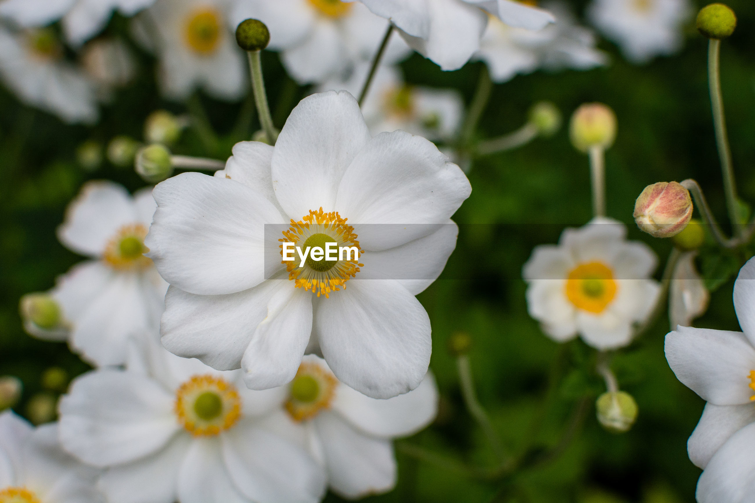 CLOSE-UP OF WHITE DAISY FLOWERS