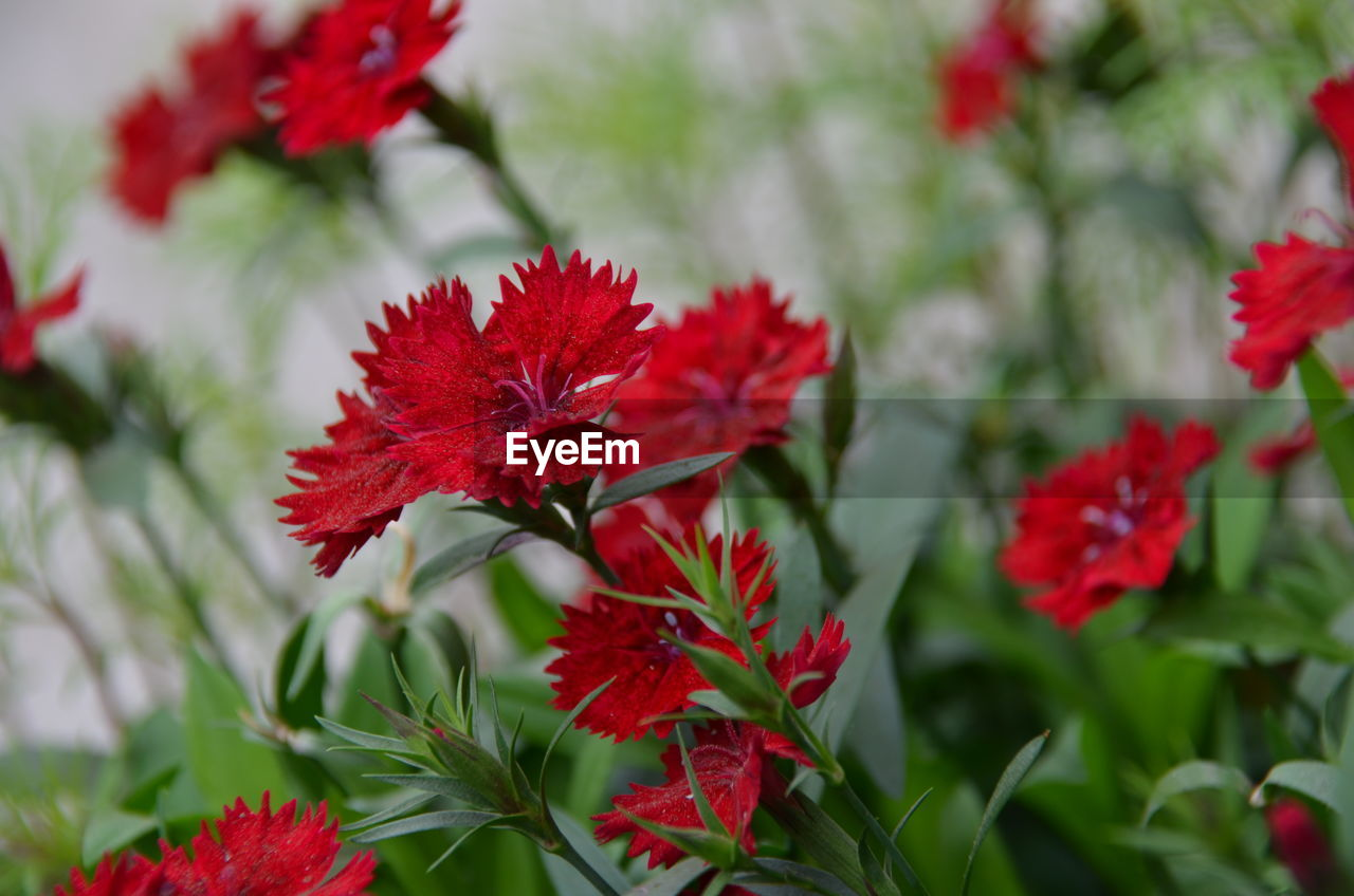 red, leaf, growth, flower, nature, no people, maple leaf, day, beauty in nature, plant, fragility, close-up, outdoors, freshness, hibiscus