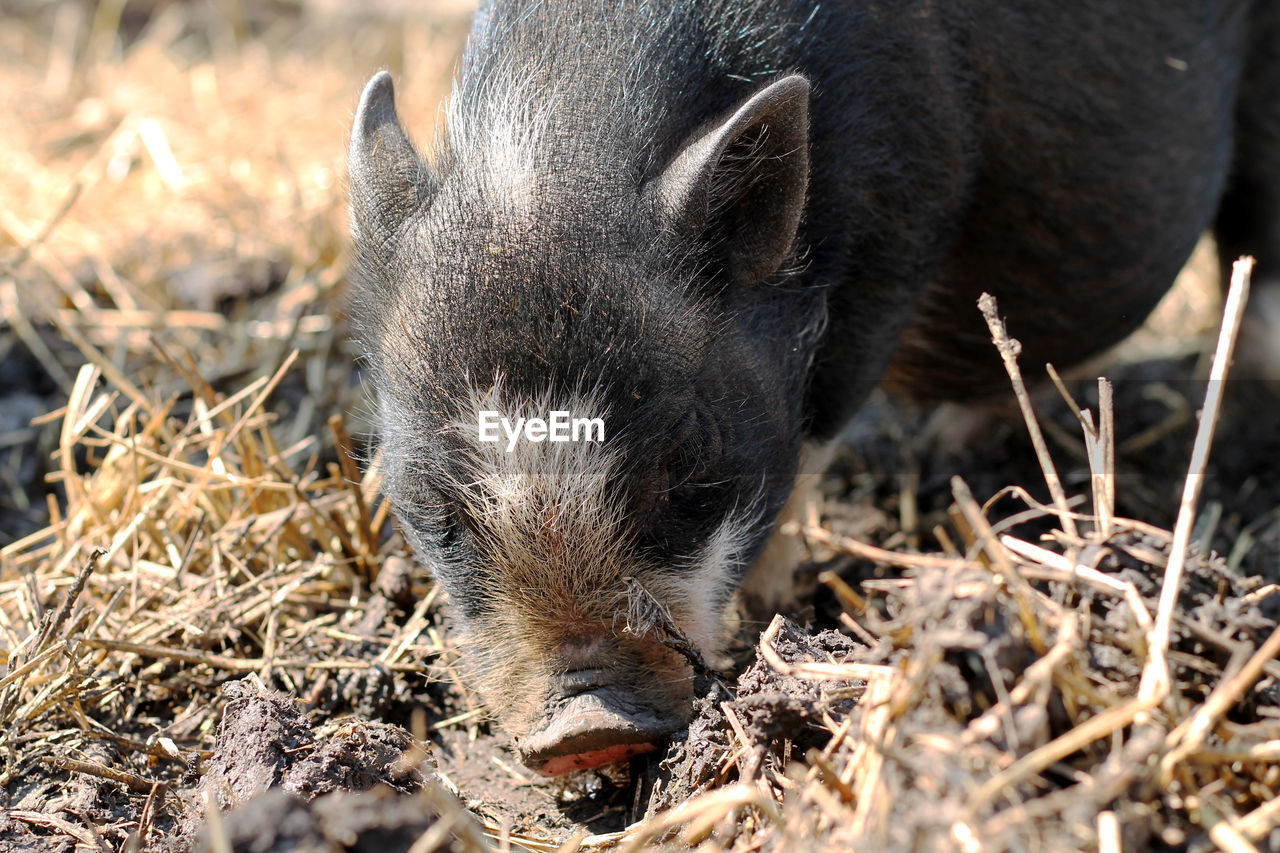 animal themes, animal, mammal, one animal, pig, domestic animals, domestic, pets, vertebrate, no people, livestock, nature, land, field, piglet, day, young animal, wild boar, close-up, animal wildlife, animal head