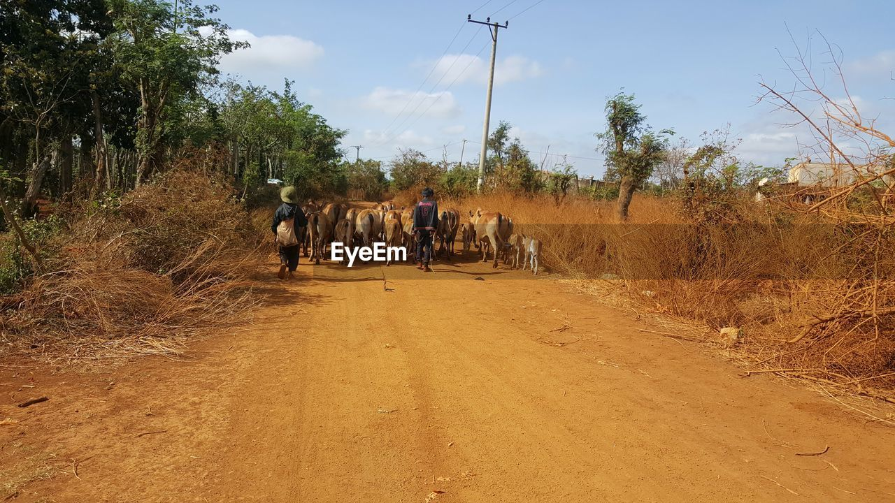 Rear View Of Farmers With Cattle Walking On Dirt Road
