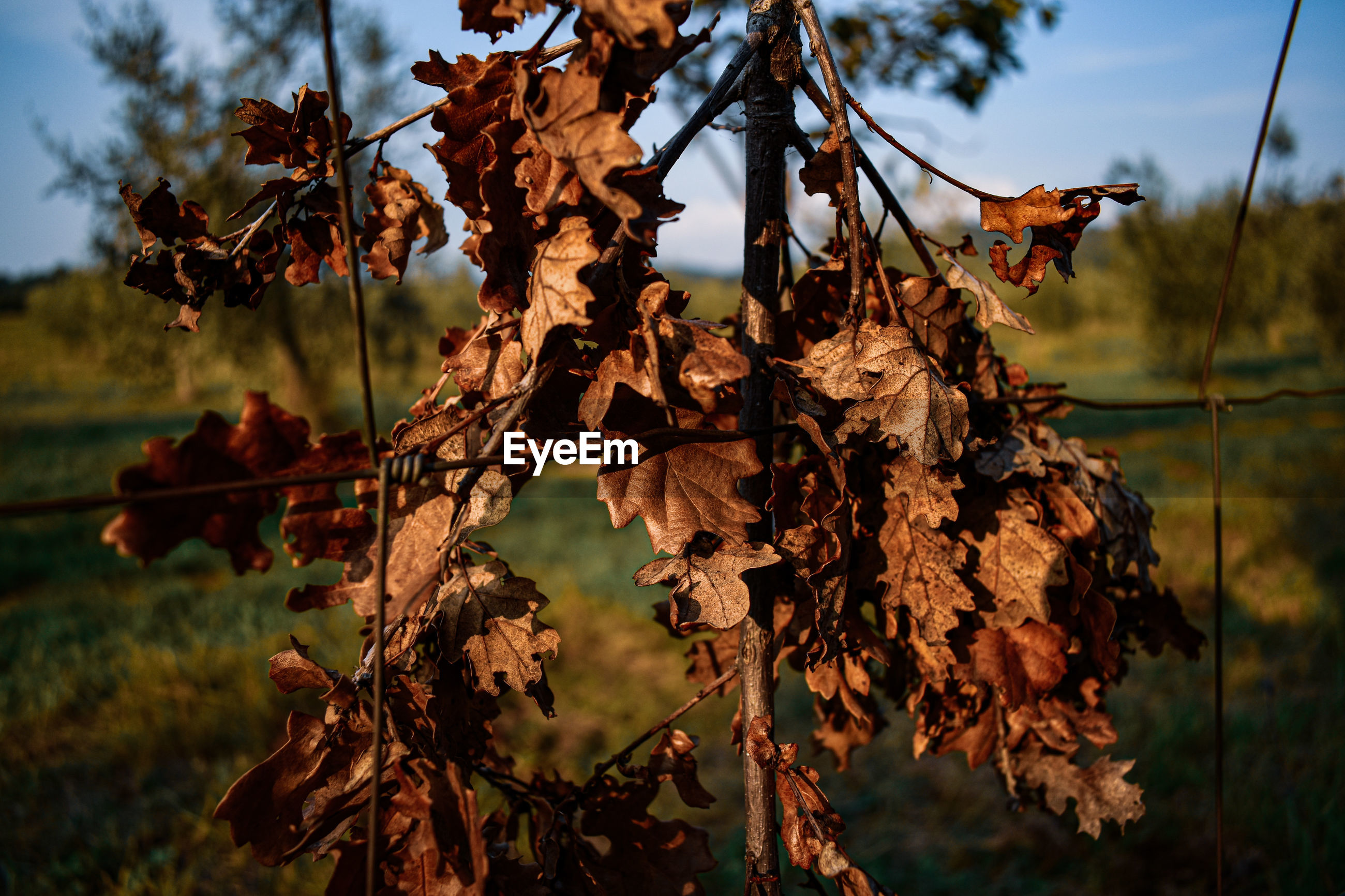 CLOSE-UP OF DRIED AUTUMN LEAVES ON TREE