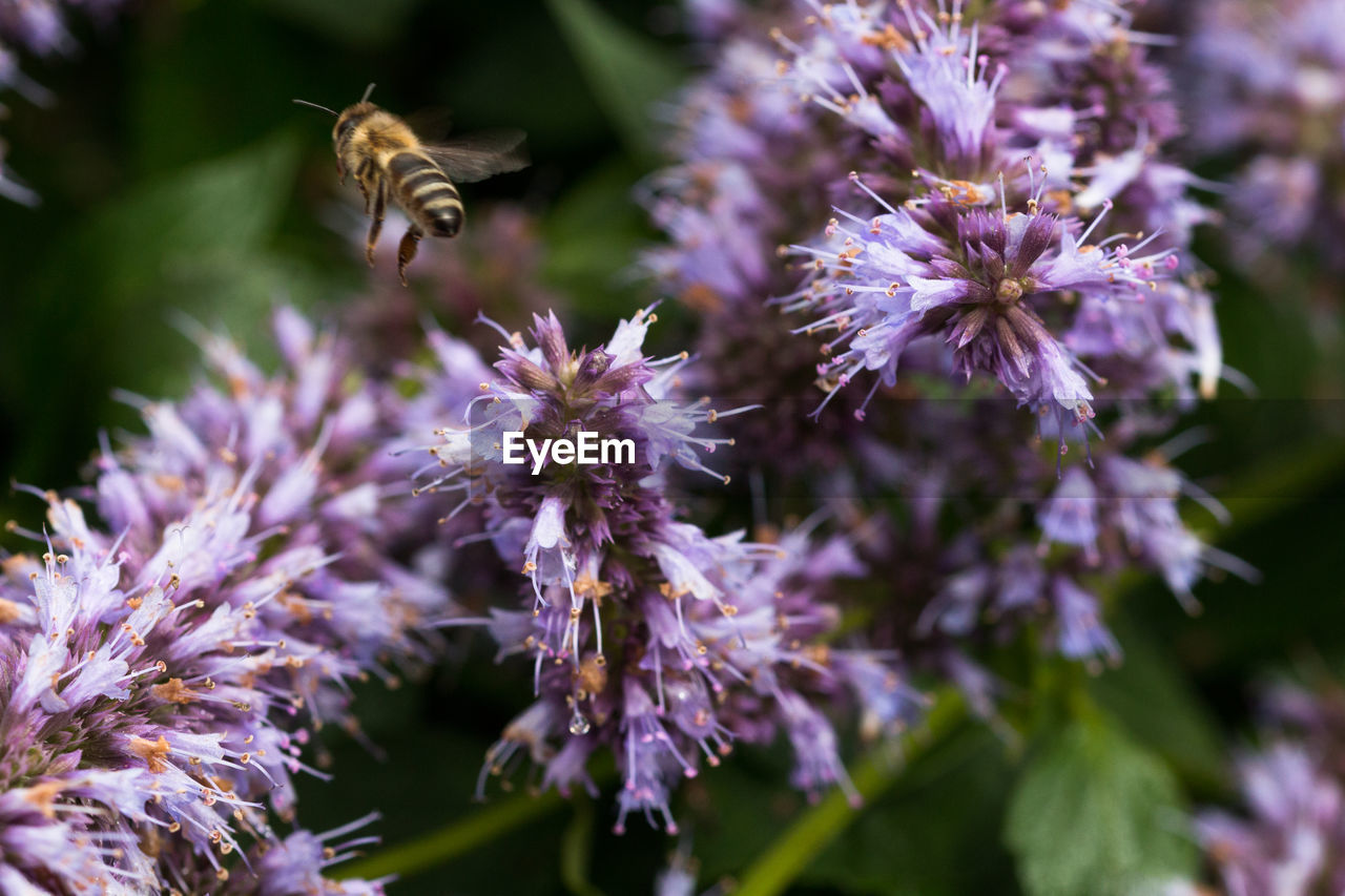 one animal, flower, animal themes, purple, nature, fragility, beauty in nature, mammal, animals in the wild, pets, petal, animal wildlife, no people, day, plant, outdoors, domestic animals, flying, freshness, pollination, bee, flower head, close-up