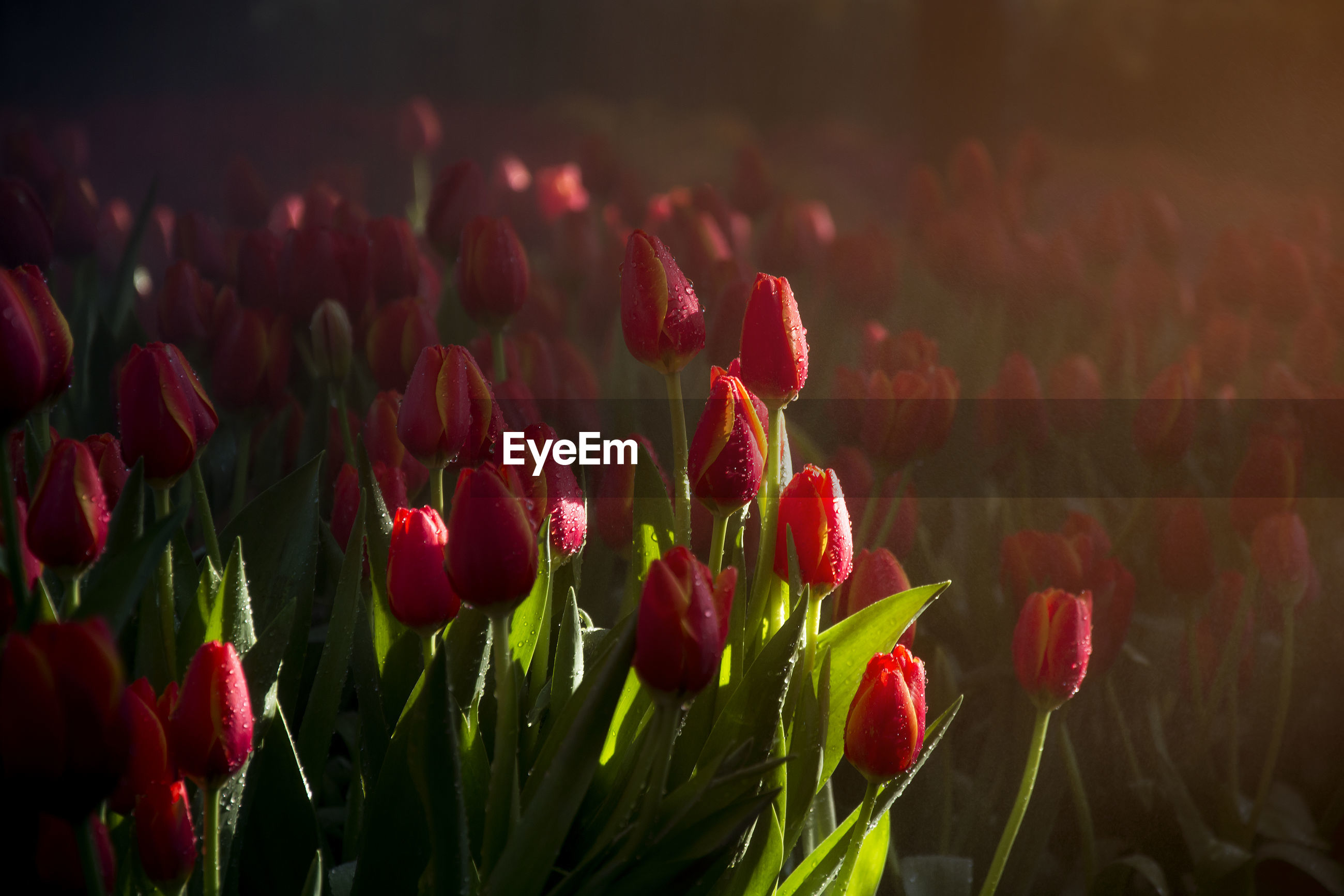 RED TULIPS BLOOMING OUTDOORS