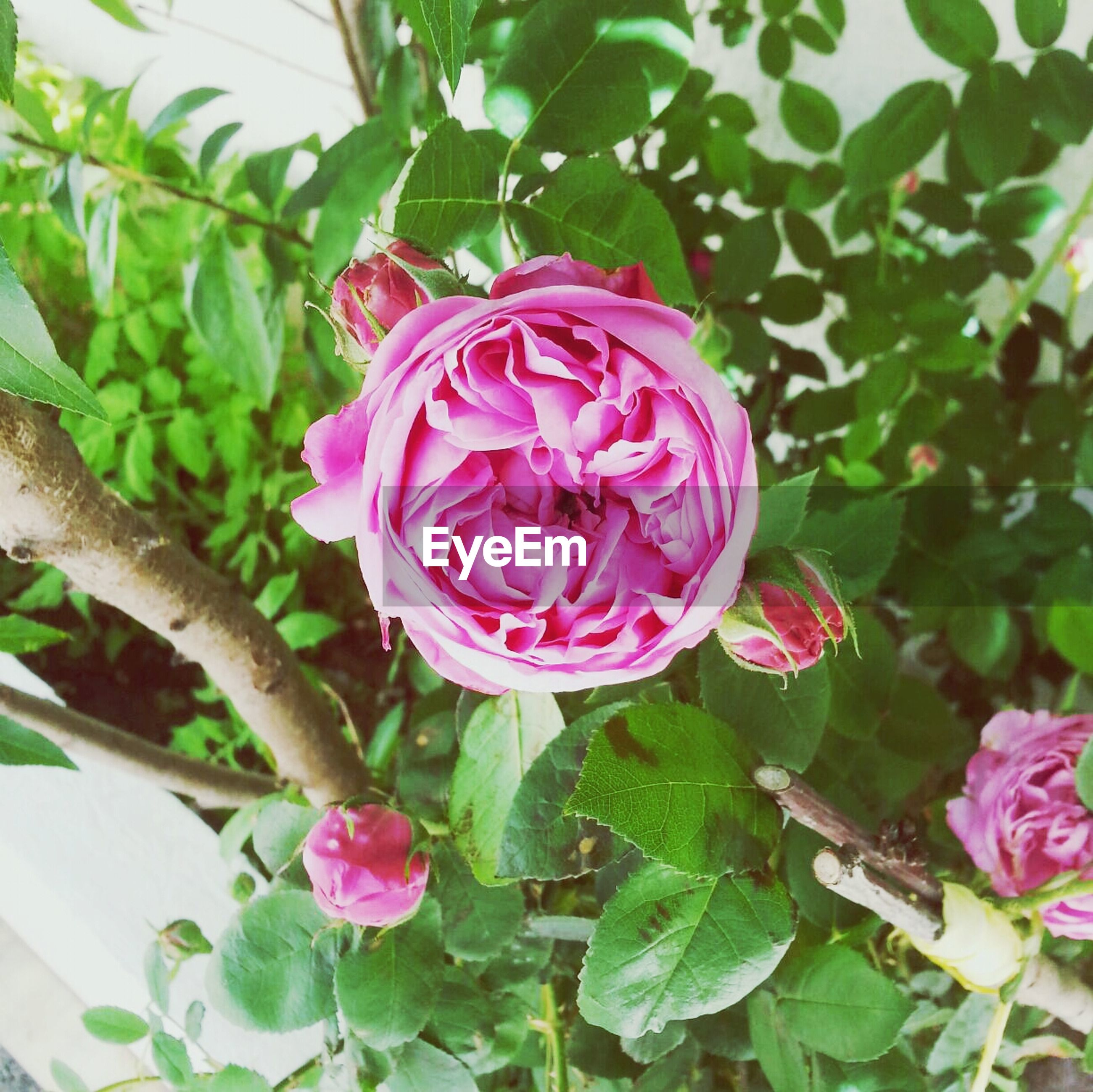 flower, freshness, petal, fragility, growth, pink color, leaf, flower head, beauty in nature, plant, rose - flower, nature, close-up, blooming, pink, green color, blossom, in bloom, outdoors, botany
