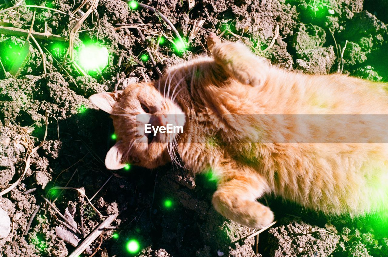 mammal, animal themes, pets, one animal, domestic, animal, cat, domestic cat, feline, domestic animals, vertebrate, relaxation, plant, land, no people, nature, field, high angle view, lying down, sleeping, ginger cat, whisker
