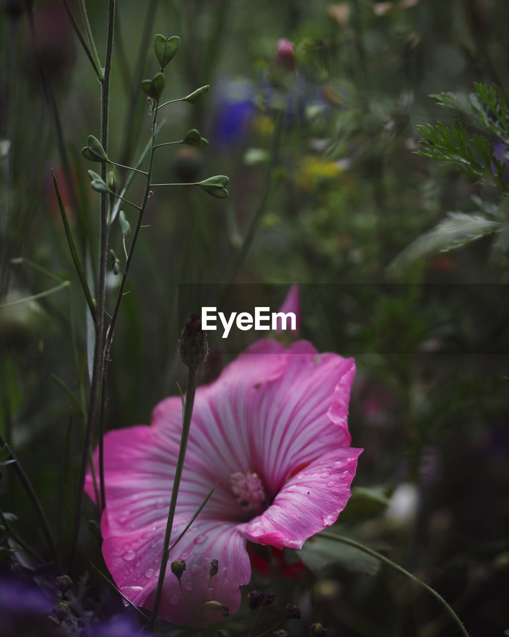 flowering plant, flower, plant, fragility, vulnerability, petal, beauty in nature, growth, freshness, flower head, inflorescence, pink color, close-up, nature, focus on foreground, day, no people, purple, selective focus, pollen