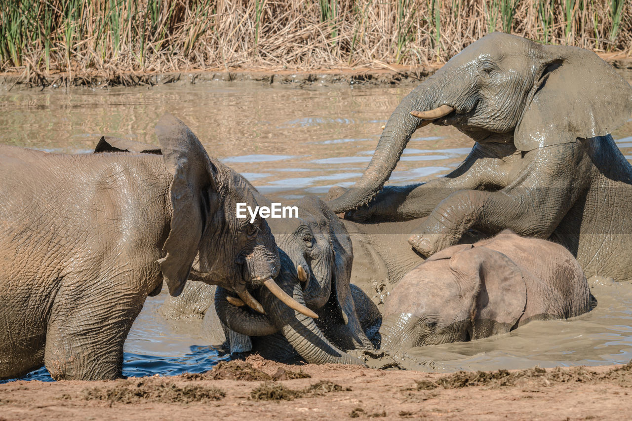 VIEW OF ELEPHANT DRINKING WATER FROM BEACH