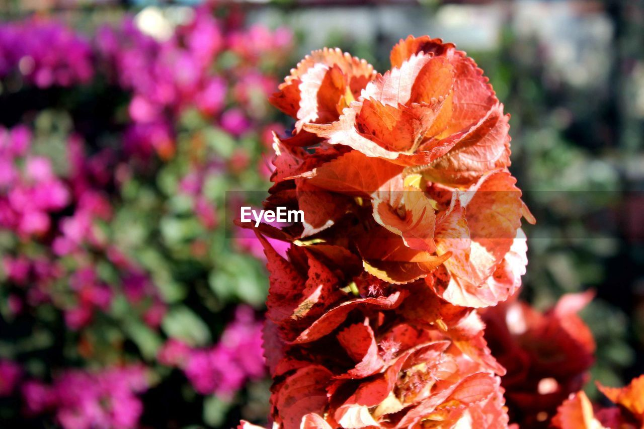 flowering plant, flower, plant, petal, fragility, freshness, vulnerability, beauty in nature, flower head, inflorescence, nature, close-up, focus on foreground, growth, no people, day, outdoors, pink color, sunlight, rose, wilted plant