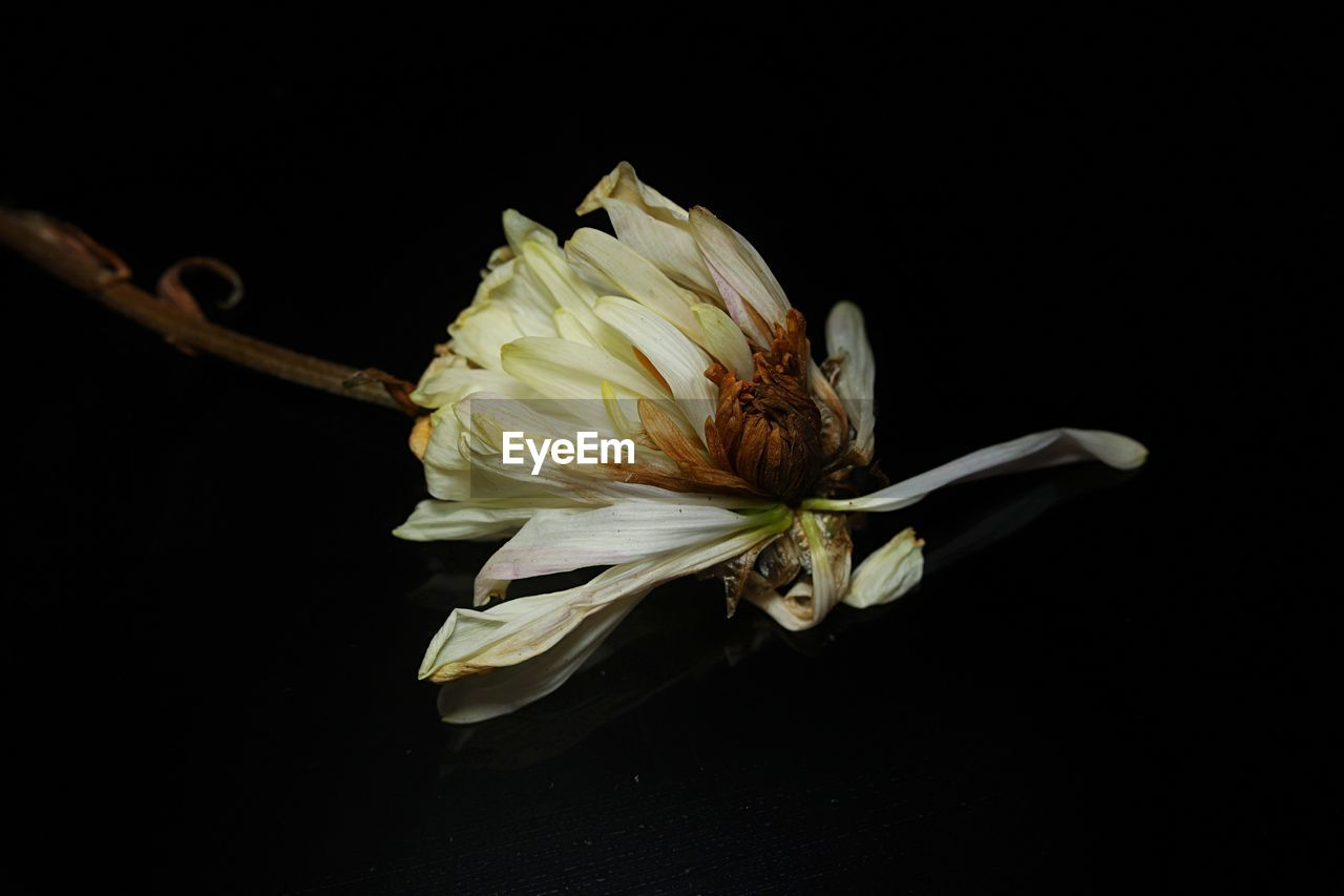 flower, flowering plant, vulnerability, fragility, petal, studio shot, black background, plant, close-up, flower head, freshness, inflorescence, beauty in nature, indoors, white color, copy space, cut out, no people, nature, pollen, wilted plant