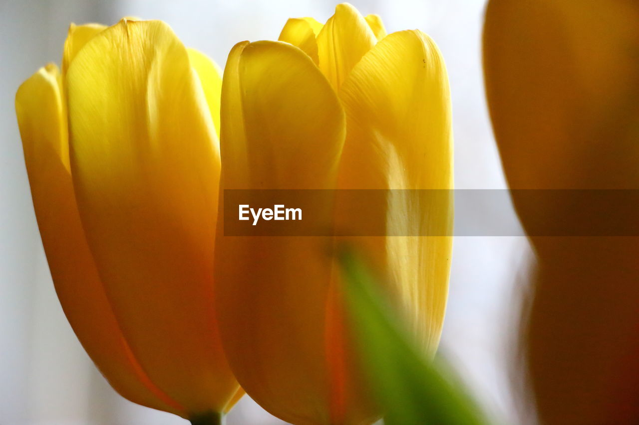 flower, freshness, yellow, petal, close-up, no people, fragility, beauty in nature, flower head, studio shot, white background, nature, indoors, day, food