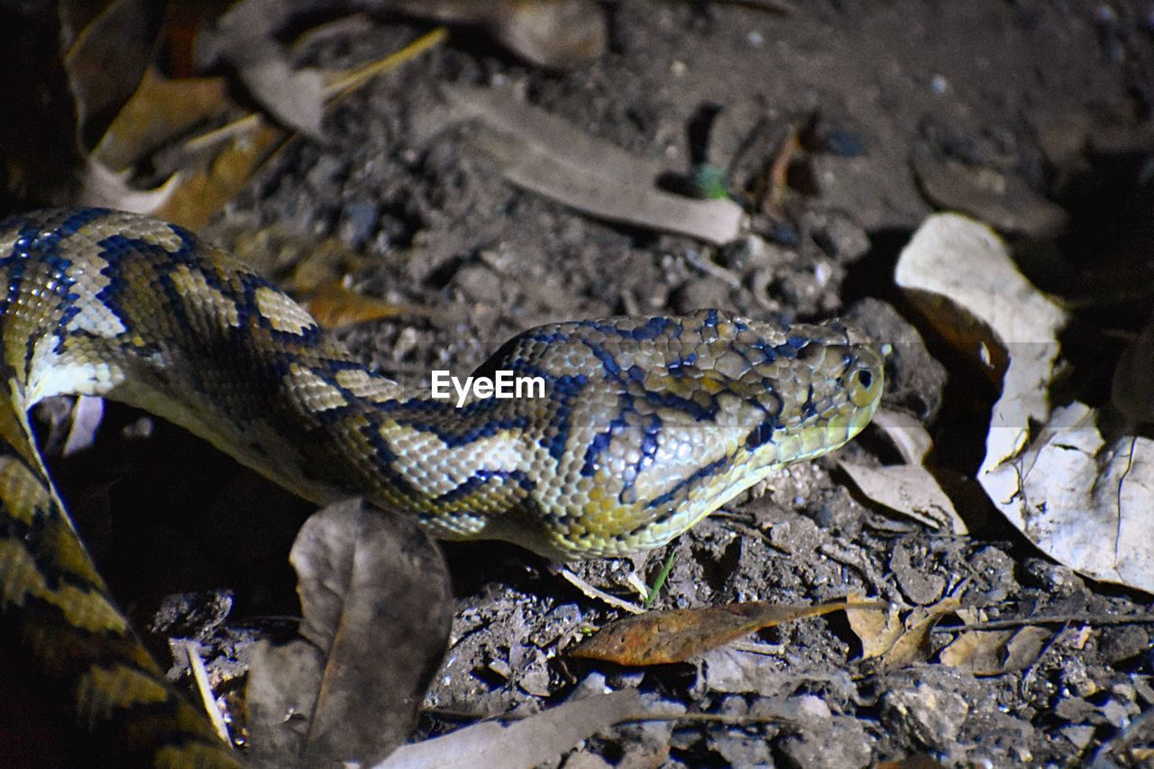 animal themes, animal, animal wildlife, one animal, reptile, vertebrate, animals in the wild, nature, day, snake, no people, animal body part, land, communication, close-up, warning sign, sign, outdoors, animal scale, plant part, animal head, aggression, poisonous