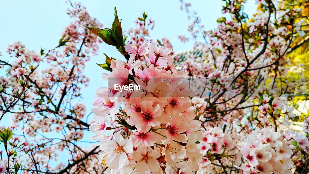 flowering plant, flower, plant, freshness, fragility, vulnerability, growth, beauty in nature, tree, pink color, branch, springtime, blossom, low angle view, close-up, petal, nature, cherry blossom, day, botany, no people, cherry tree, flower head, outdoors, spring, pollen, bunch of flowers