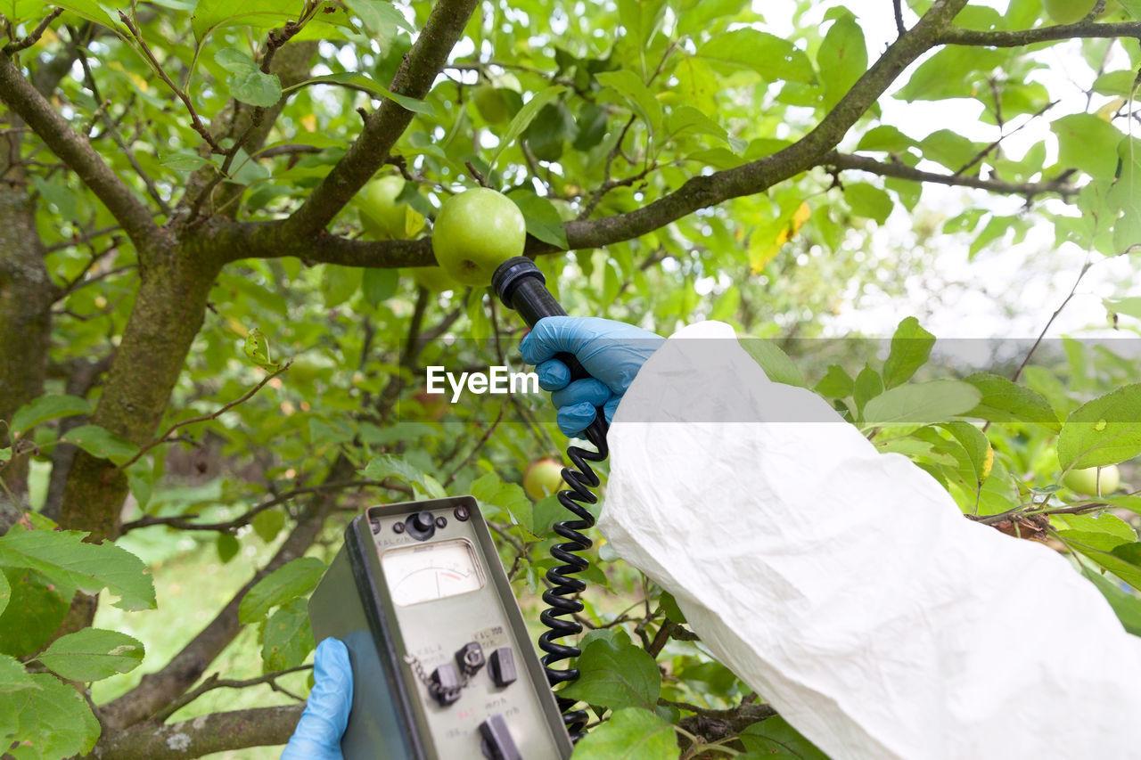 Farm worker testing apples growing on tree