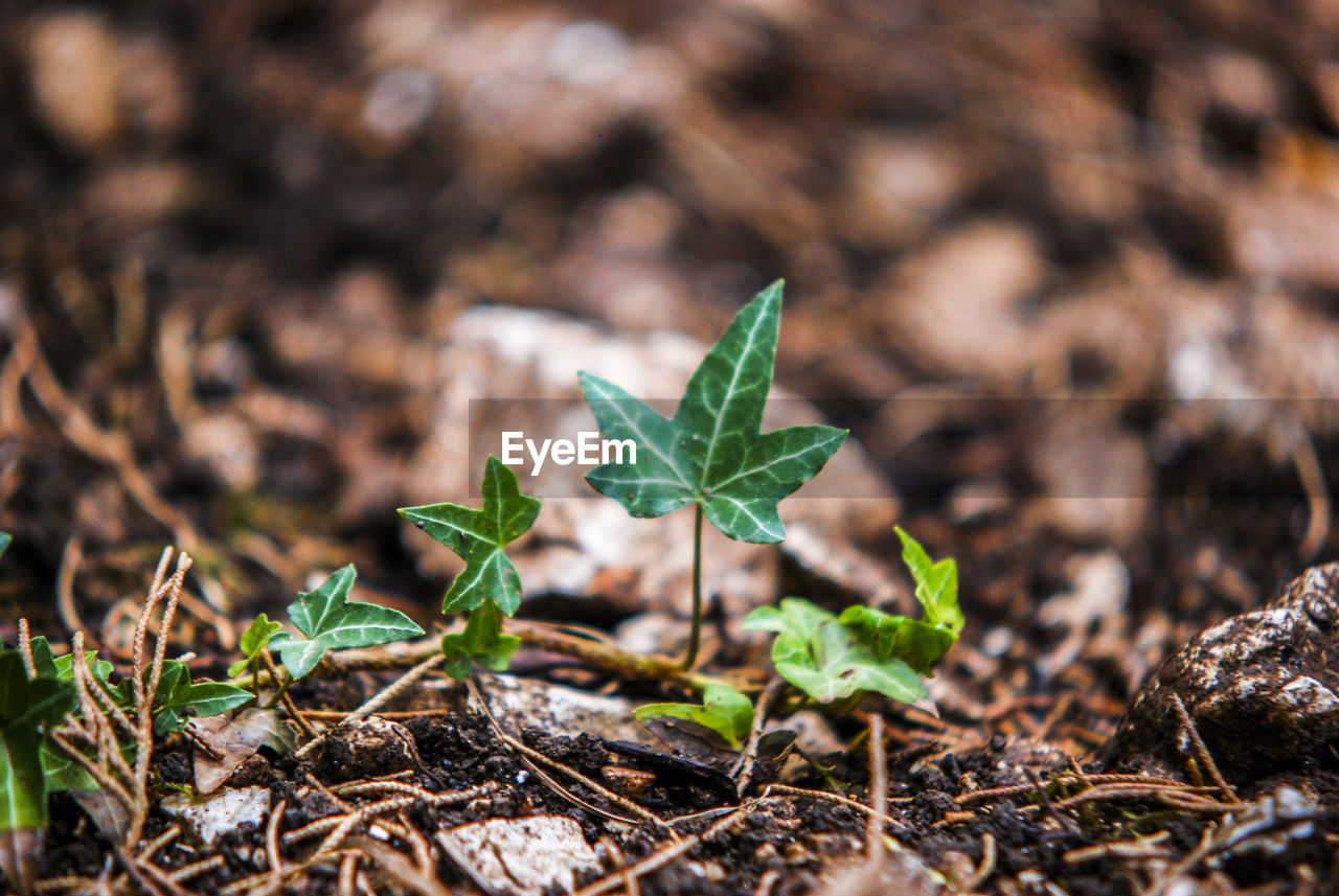 Ivy Growing On Ground