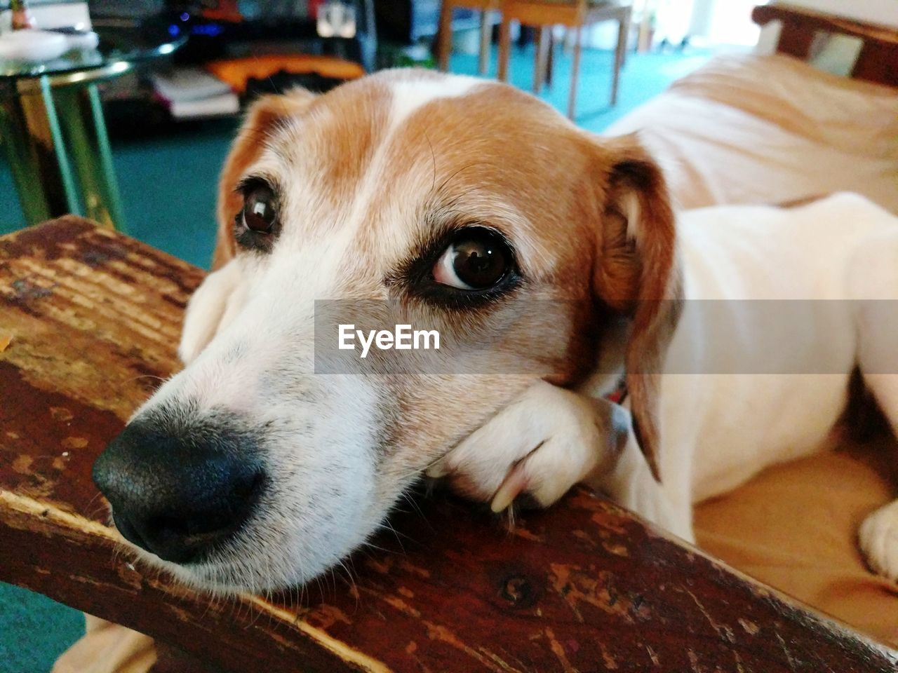 canine, dog, one animal, domestic, pets, animal themes, domestic animals, animal, mammal, relaxation, indoors, close-up, vertebrate, looking, looking away, focus on foreground, animal body part, animal head, no people, wood - material, jack russell terrier