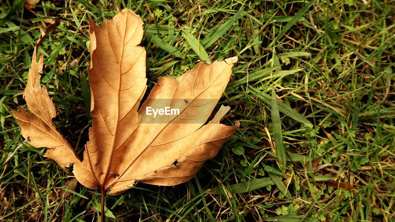 plant part, leaf, autumn, dry, plant, field, nature, close-up, land, grass, day, change, fragility, no people, high angle view, falling, vulnerability, green color, leaf vein, outdoors, leaves, maple leaf, natural condition