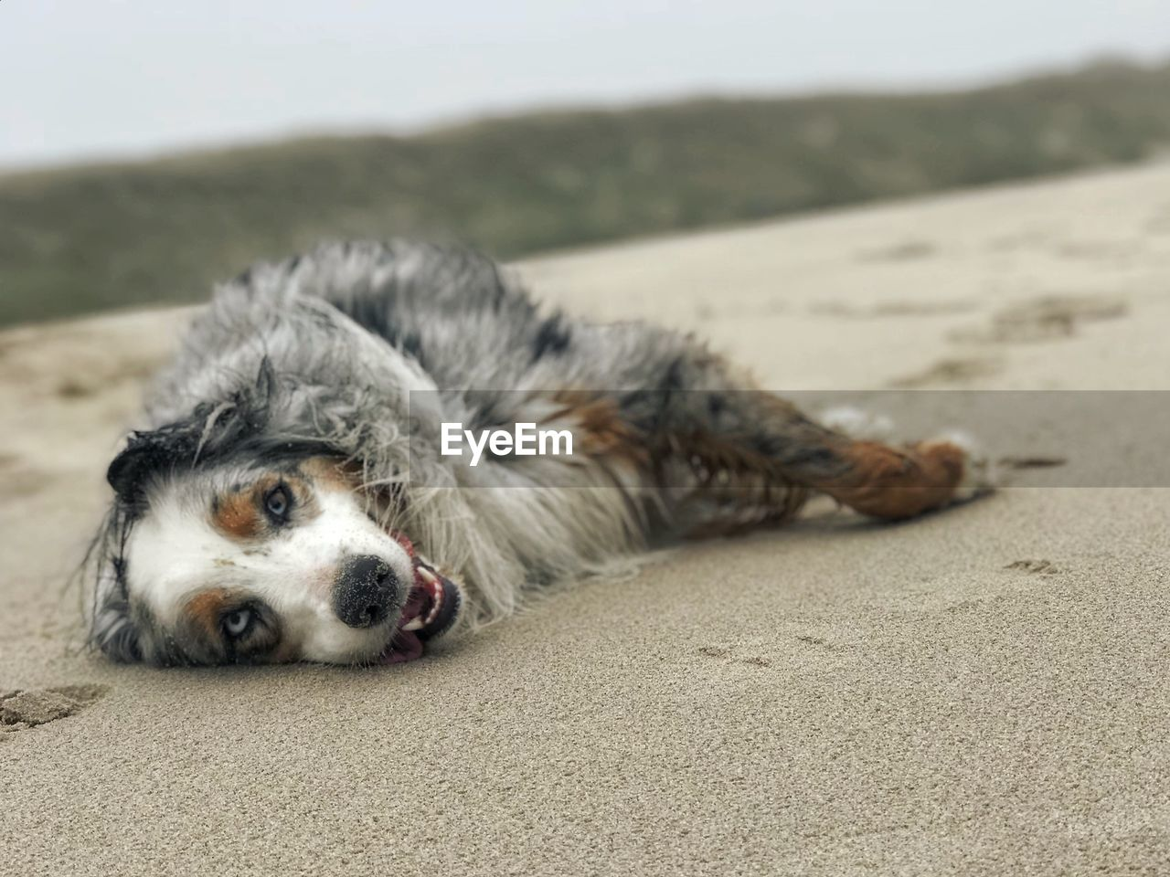 one animal, animal themes, animal, domestic, mammal, domestic animals, canine, pets, dog, relaxation, vertebrate, lying down, no people, resting, portrait, focus on foreground, sand, day, animal body part, looking at camera, animal head