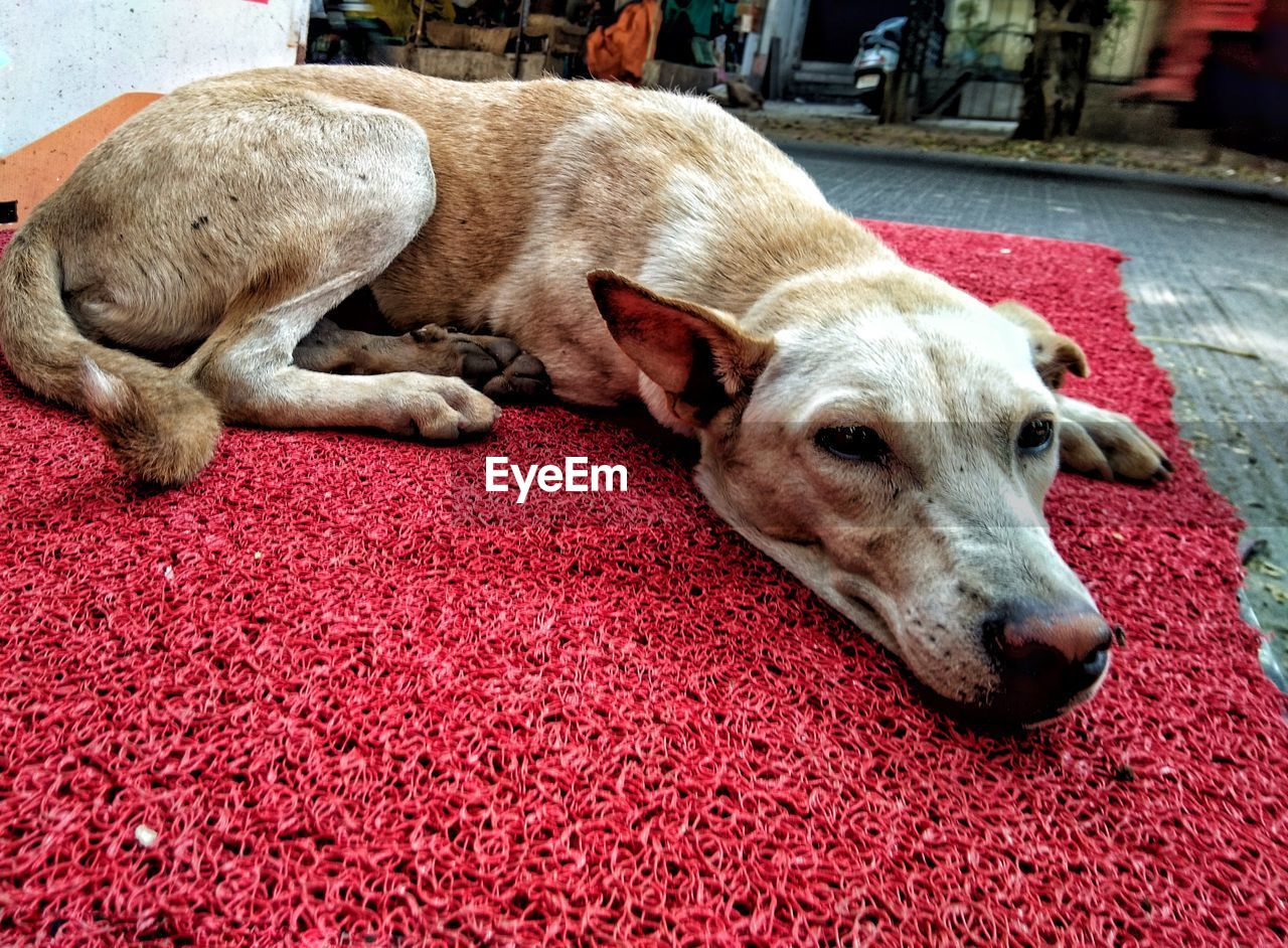 pets, domestic animals, domestic, mammal, dog, canine, animal themes, animal, one animal, vertebrate, relaxation, red, close-up, no people, lying down, carpet - decor, rug, resting, day, animal body part, animal head