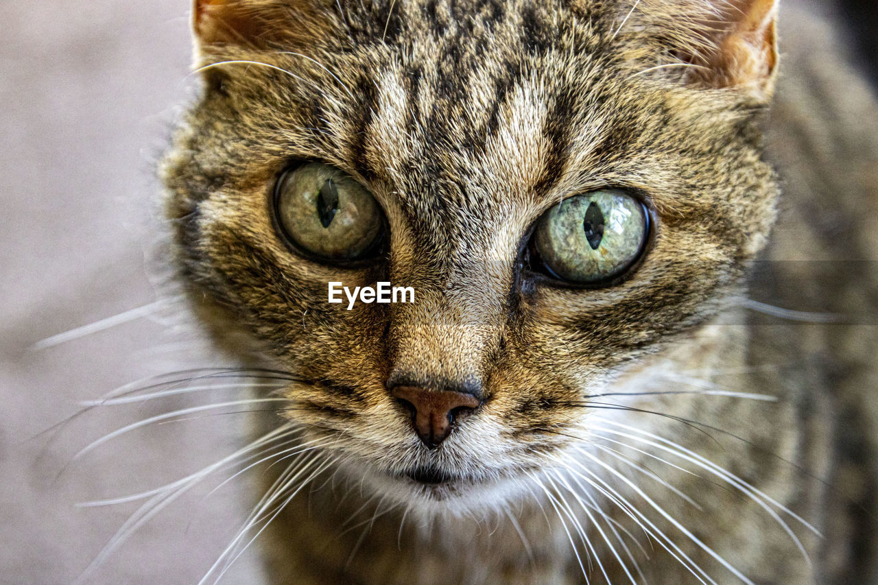 cat, animal themes, animal, domestic cat, feline, one animal, mammal, pets, domestic, domestic animals, whisker, close-up, vertebrate, animal body part, portrait, looking at camera, animal head, no people, animal eye, eye, tabby, snout, animal nose