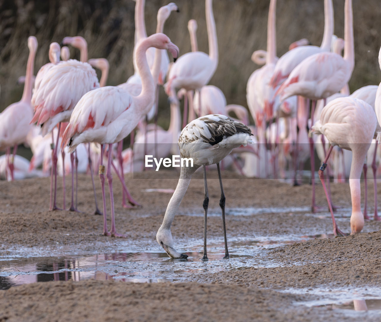 group of animals, animal, animals in the wild, animal themes, flamingo, bird, animal wildlife, large group of animals, vertebrate, water, day, lake, no people, focus on foreground, land, nature, pink color, selective focus, beauty in nature, flock of birds, outdoors, drinking, freshwater bird, animal neck