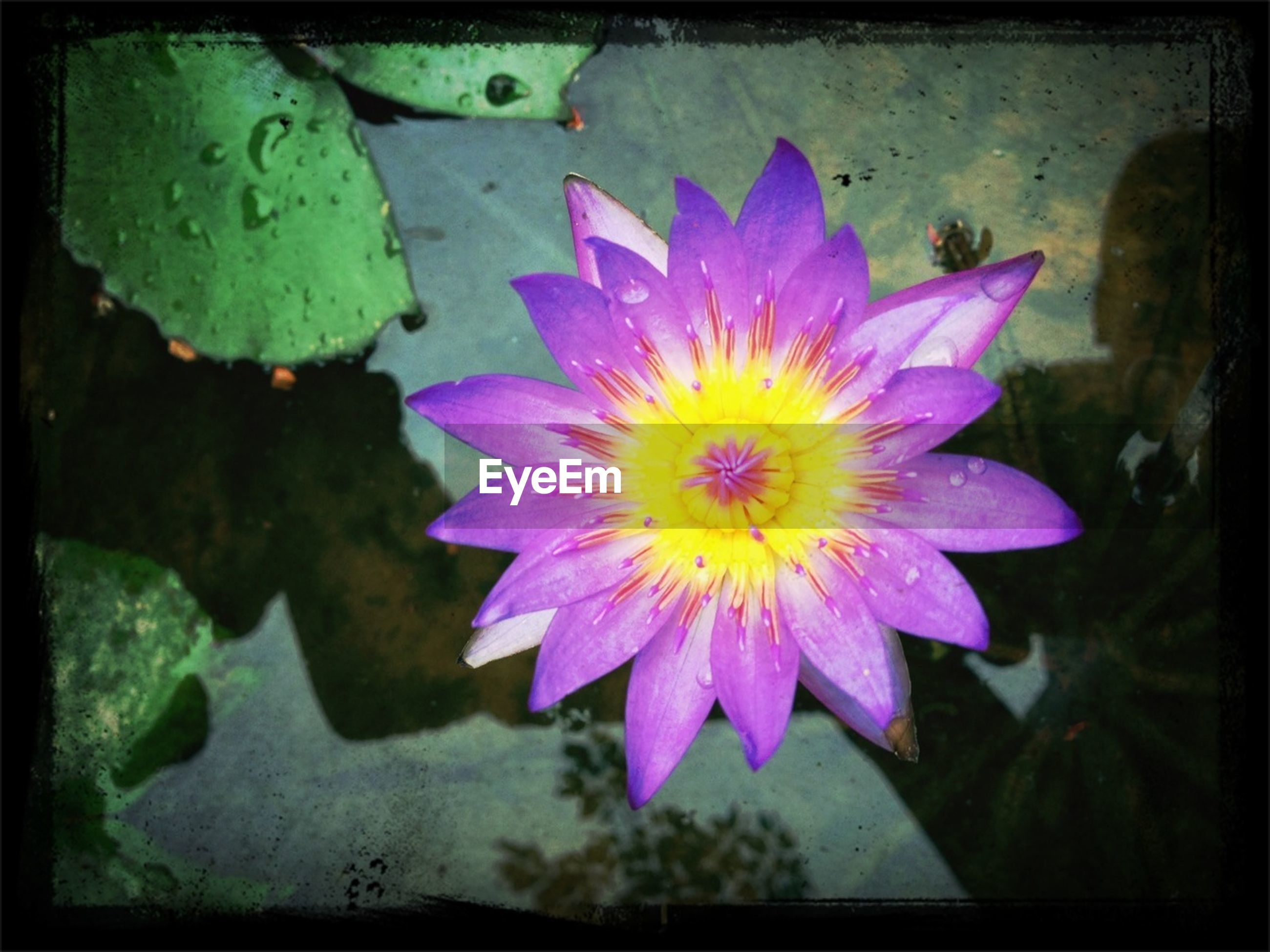 flower, petal, flower head, freshness, fragility, water lily, single flower, pond, beauty in nature, pollen, blooming, close-up, growth, pink color, yellow, nature, high angle view, plant, water, leaf